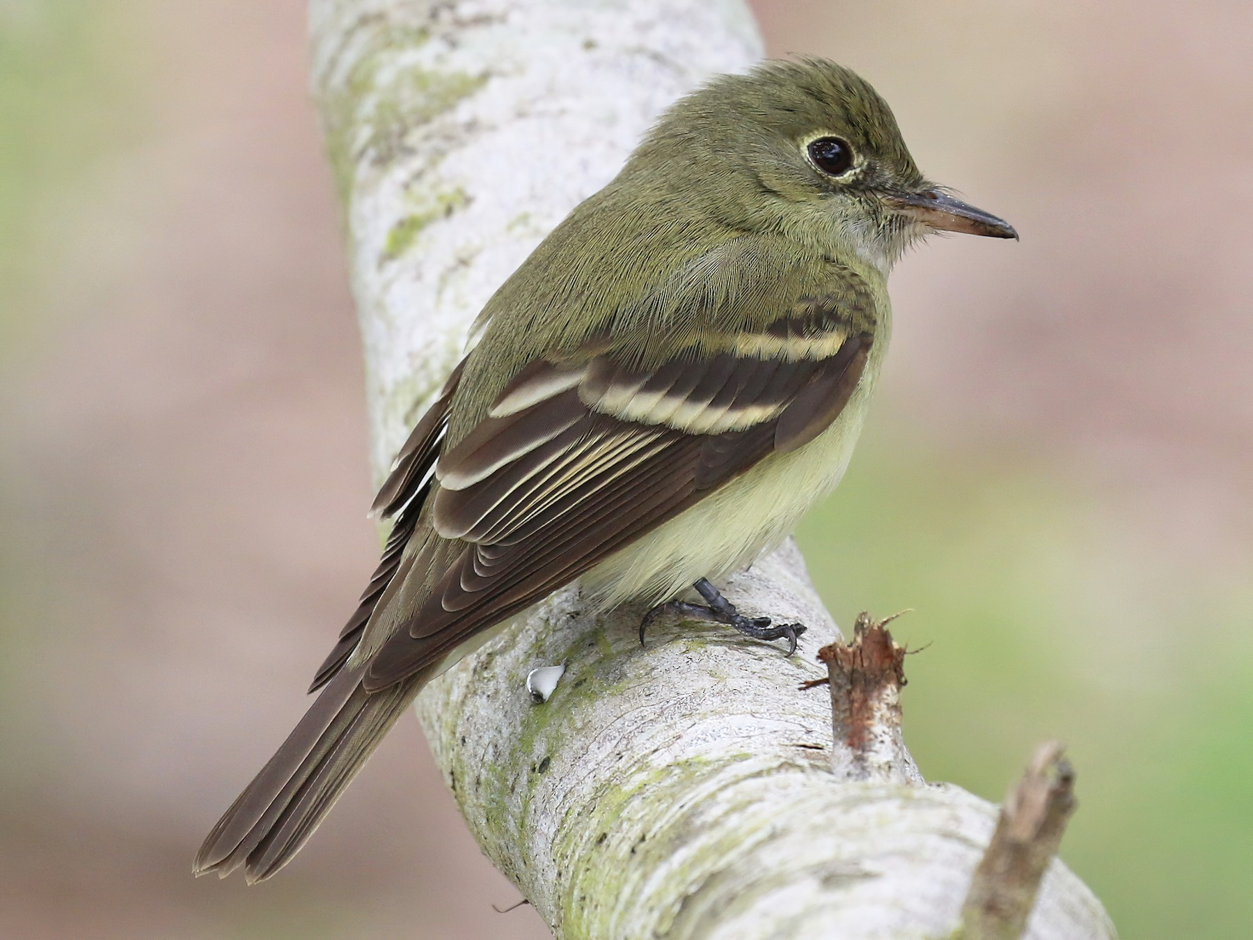 Acadian Flycatcher - Dan Jones