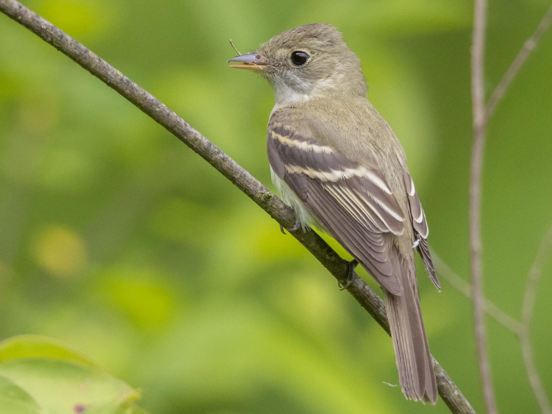 Acadian Flycatcher - Brendan Klick