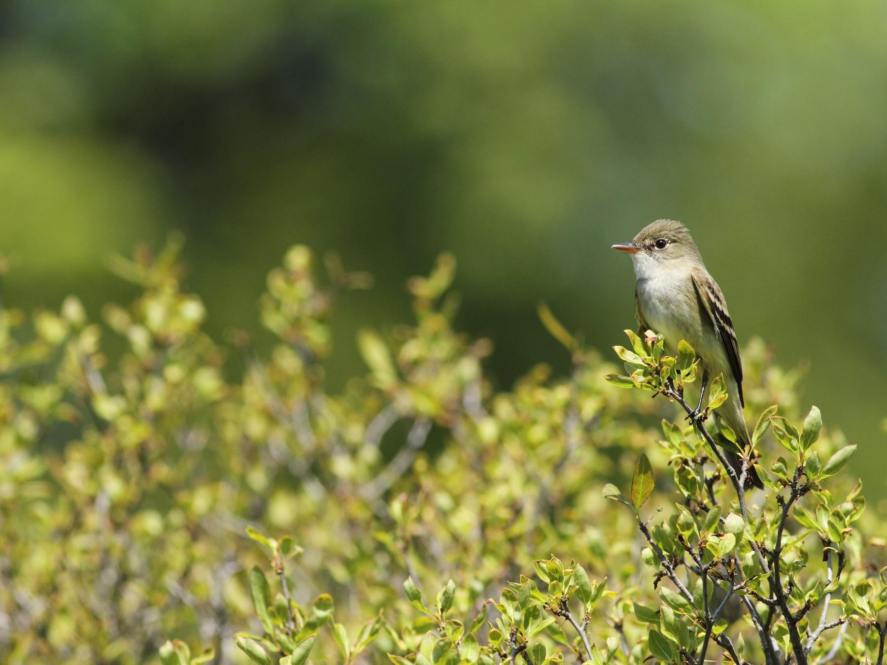 Alder Flycatcher - Luke Seitz