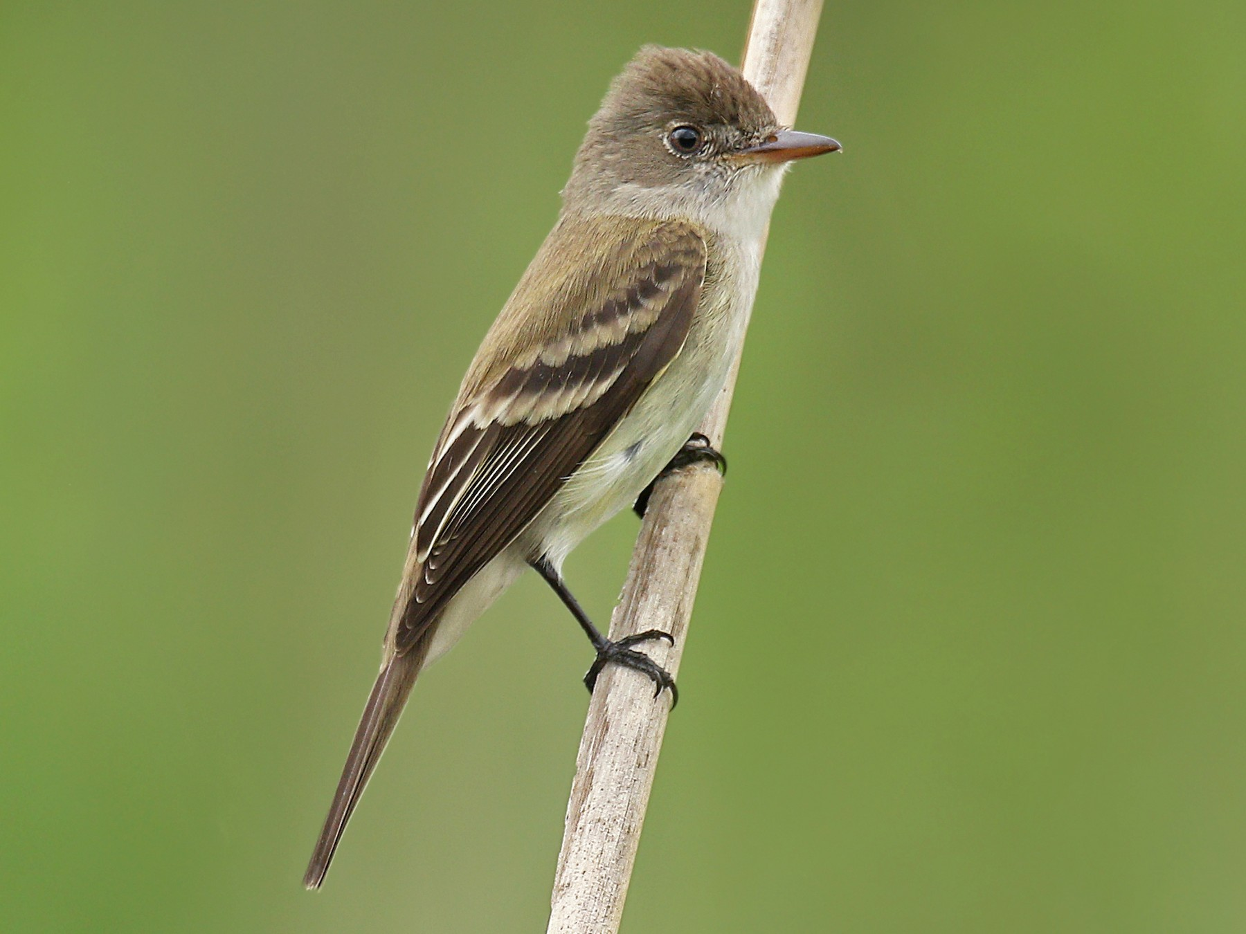 Willow Flycatcher - Ryan Schain
