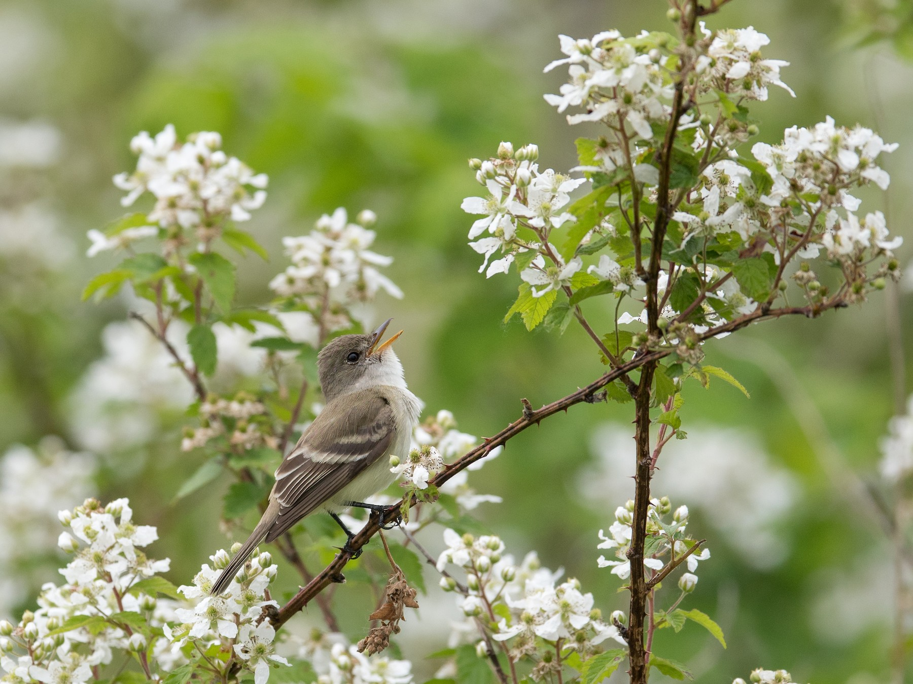 Willow Flycatcher - Adam Brandemihl