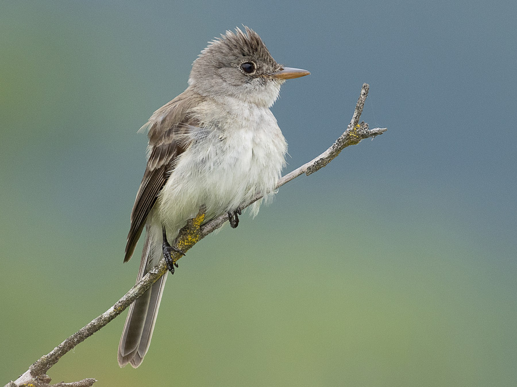 Willow Flycatcher - mark daly
