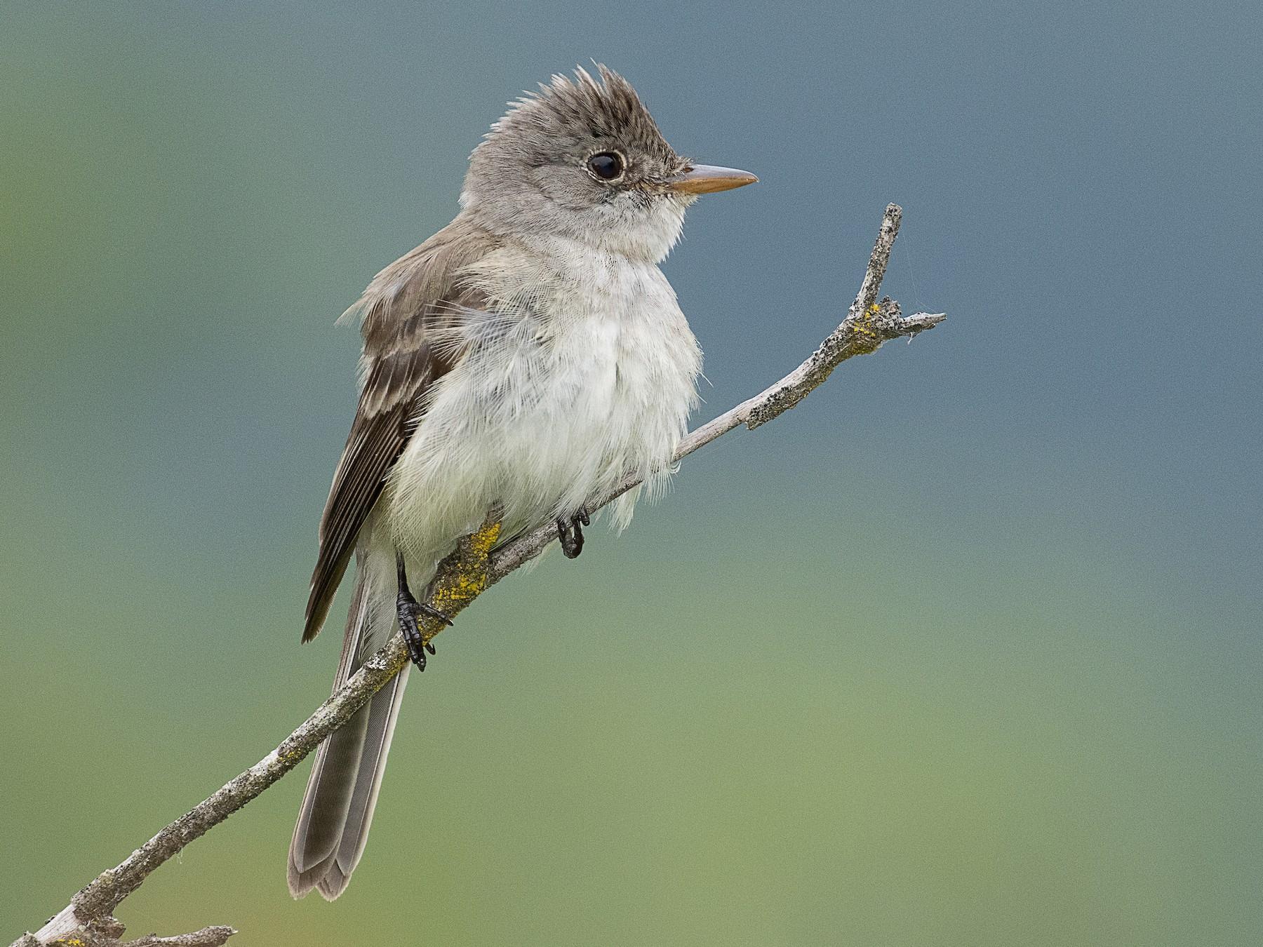Willow Flycatcher - mark daly