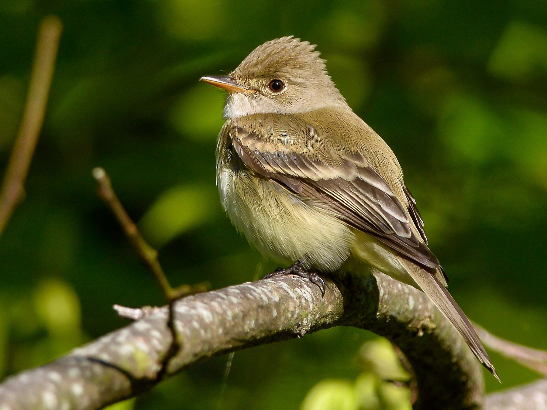 Willow Flycatcher - Daniel Irons