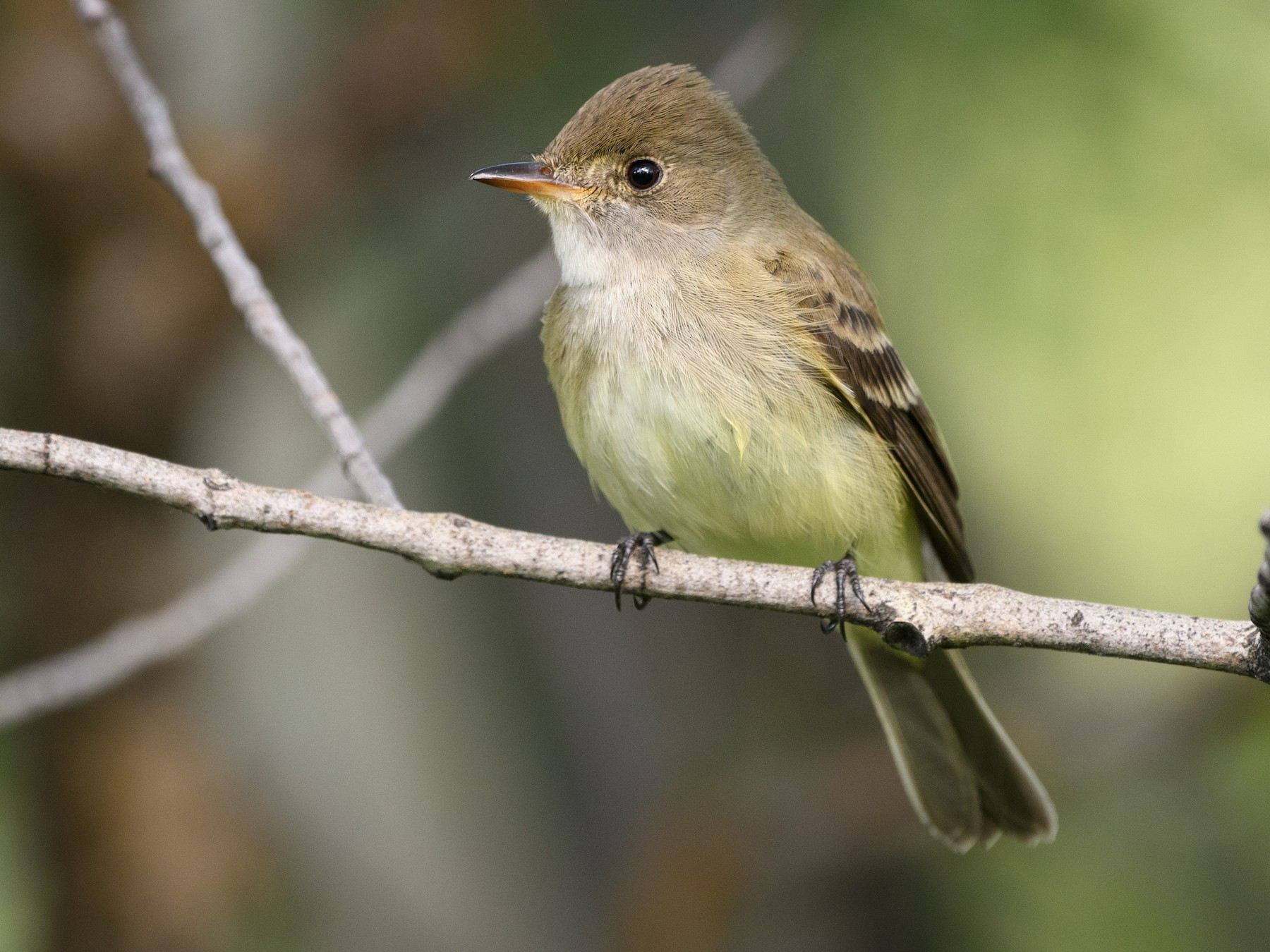 Willow Flycatcher - Darren Clark