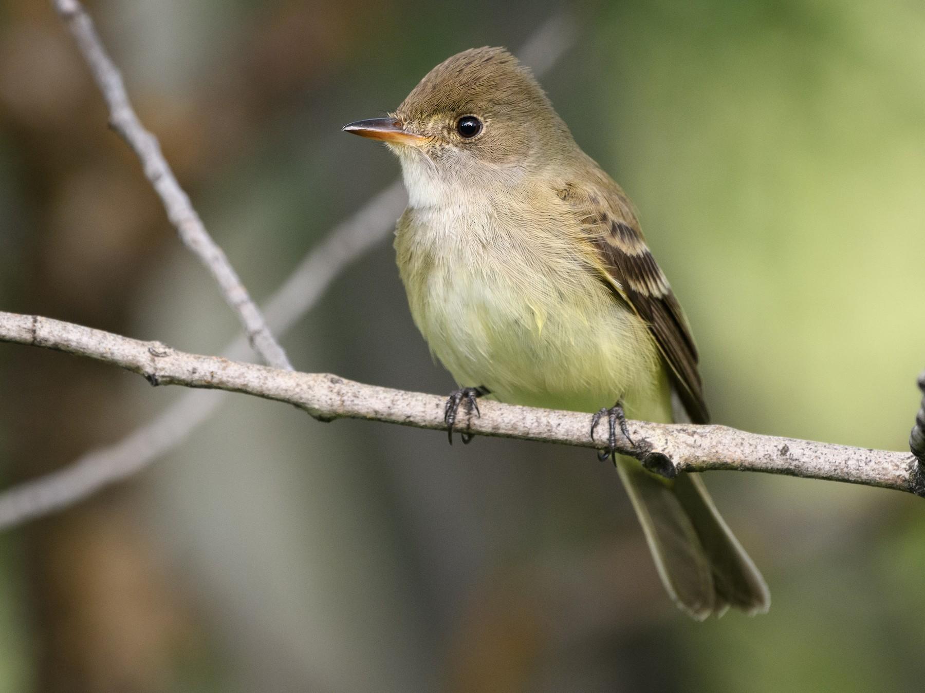Willow Flycatcher - Darren Clark