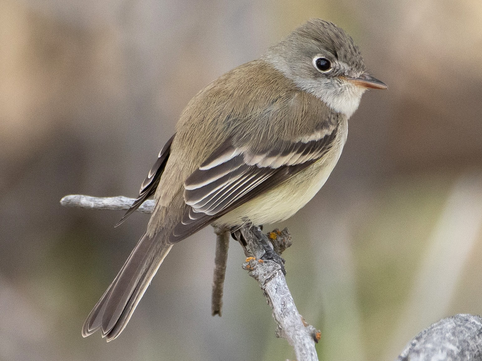Least Flycatcher - Darren Clark