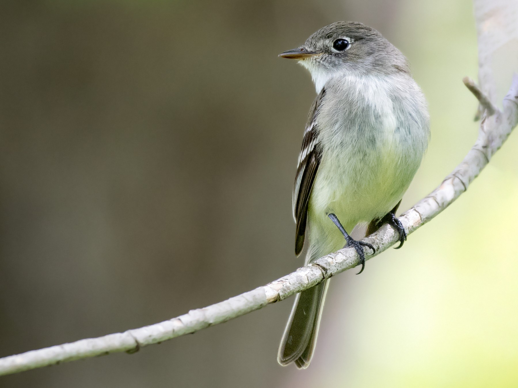 Least Flycatcher - Matthew Addicks
