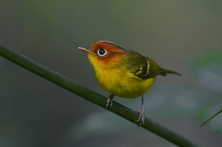 - Yellow-breasted Warbler