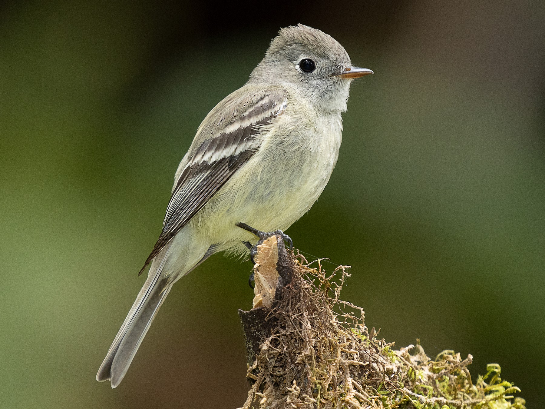 Hammond's Flycatcher - mark daly