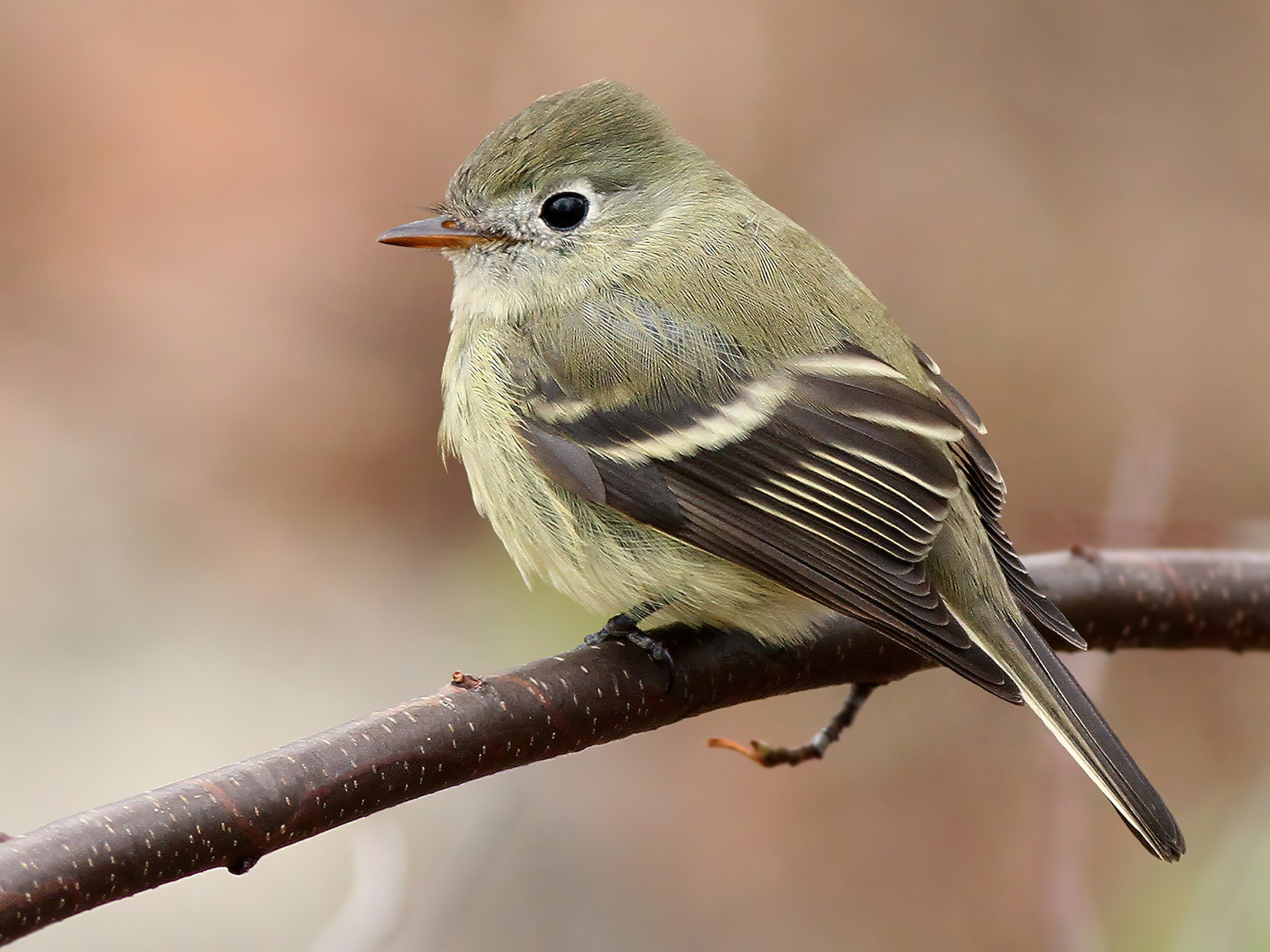 Hammond's Flycatcher - Jeremiah Trimble