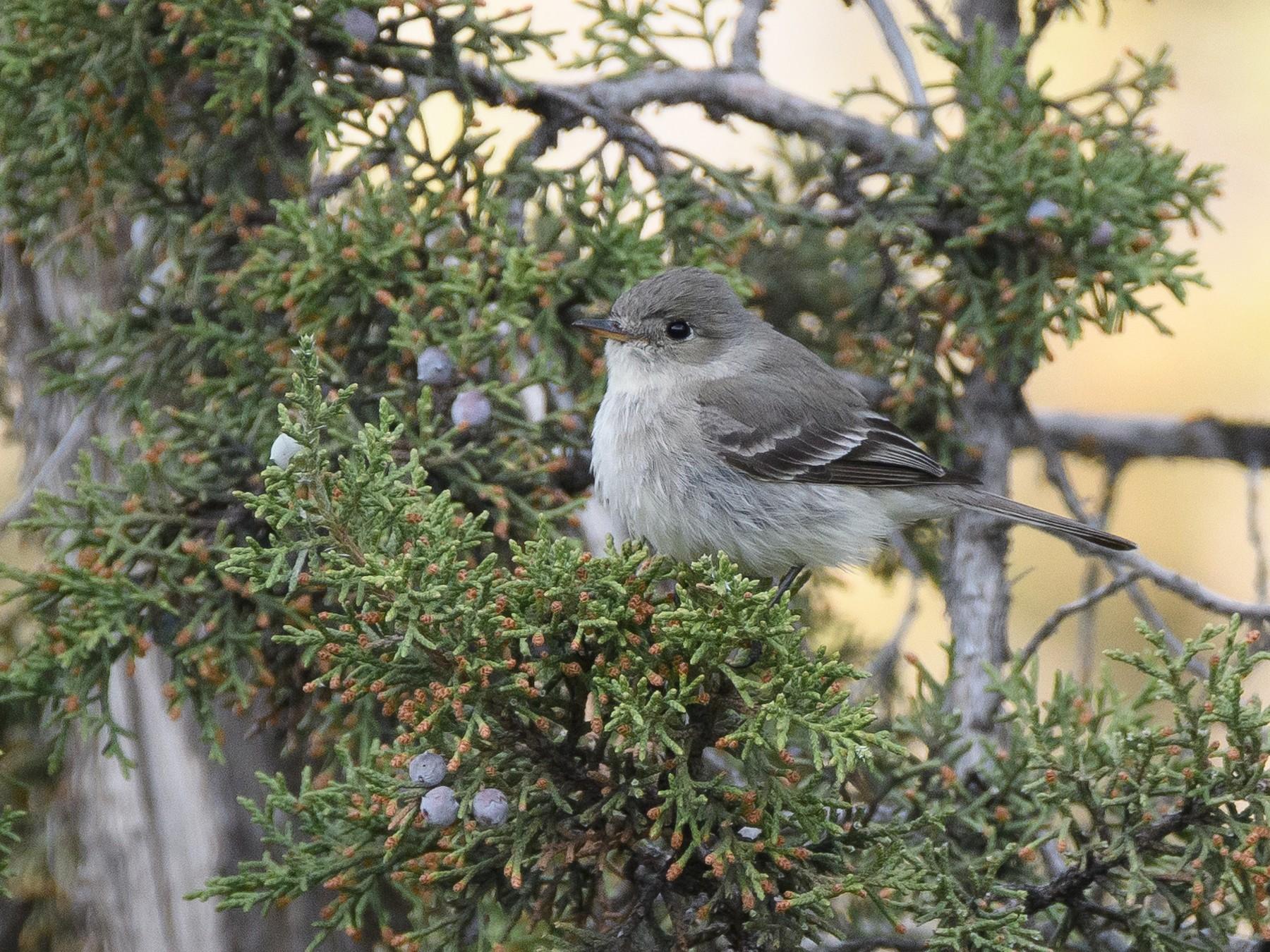 Gray Flycatcher - Darren Clark
