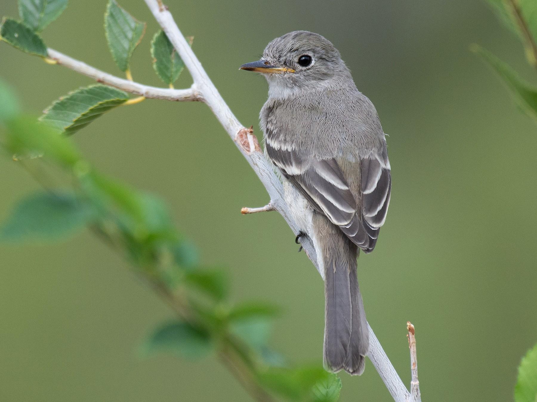 Gray Flycatcher - Jack Parlapiano