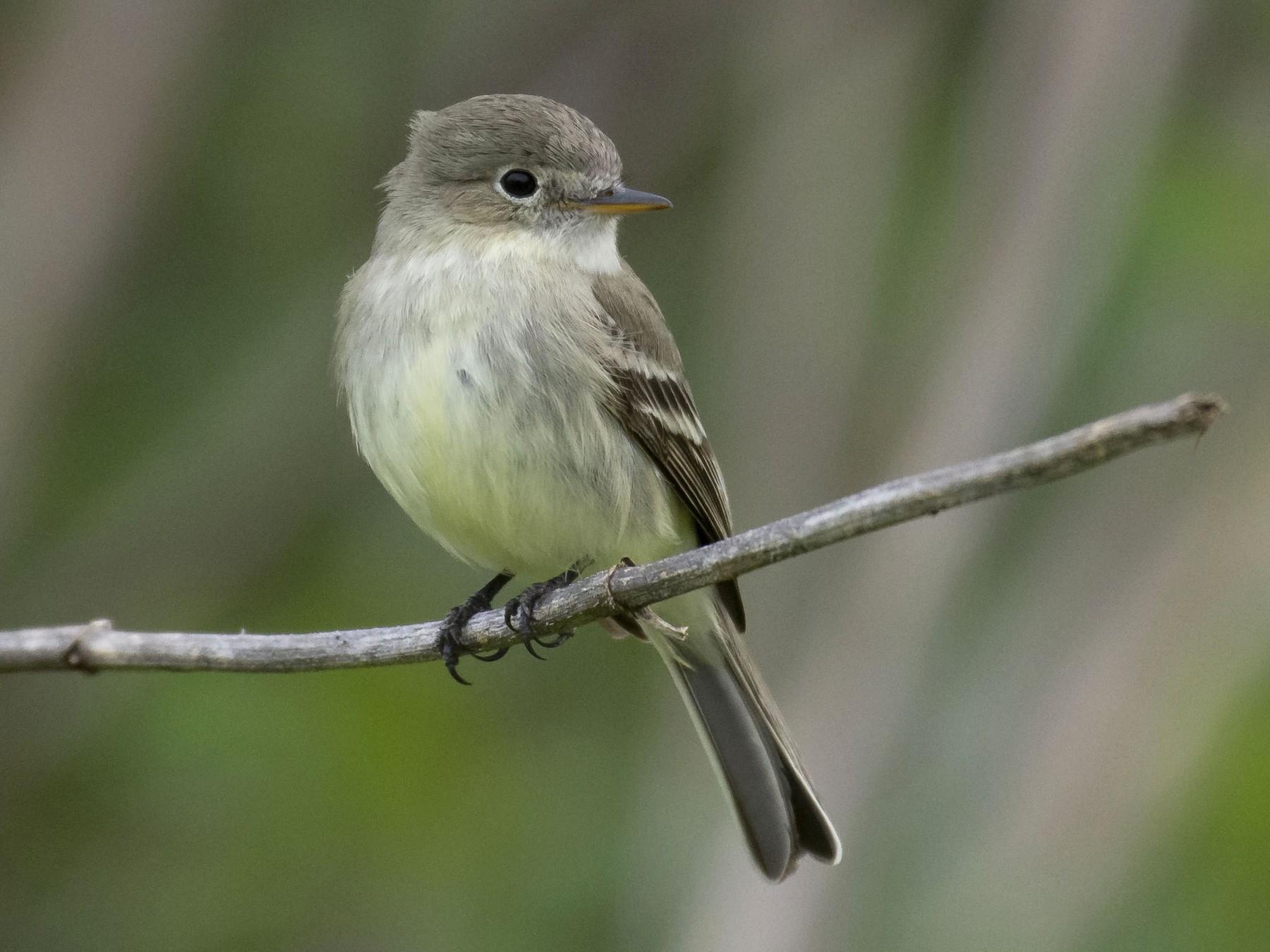 Gray Flycatcher - Marky Mutchler