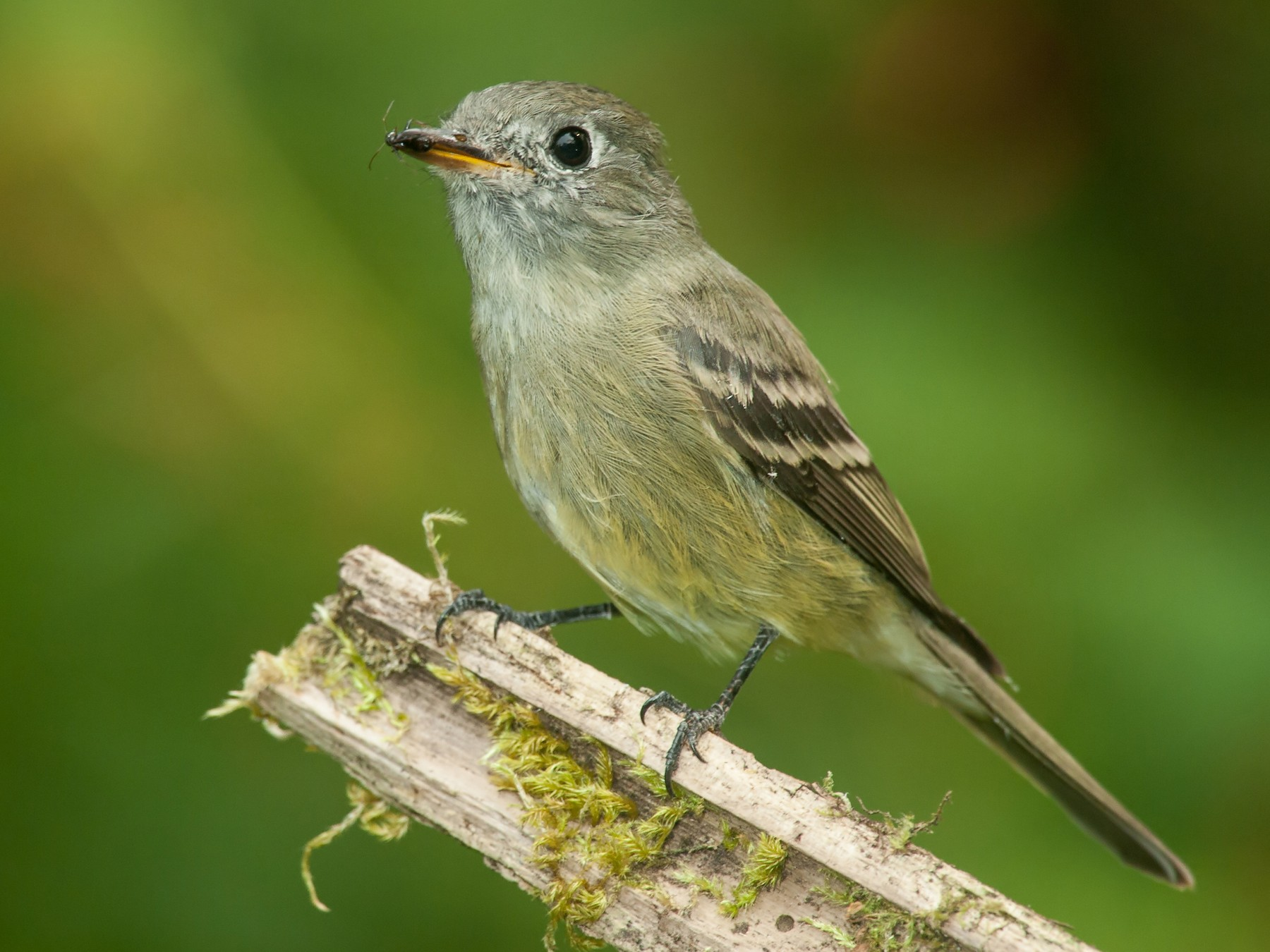 Dusky Flycatcher - Martin Dollenkamp