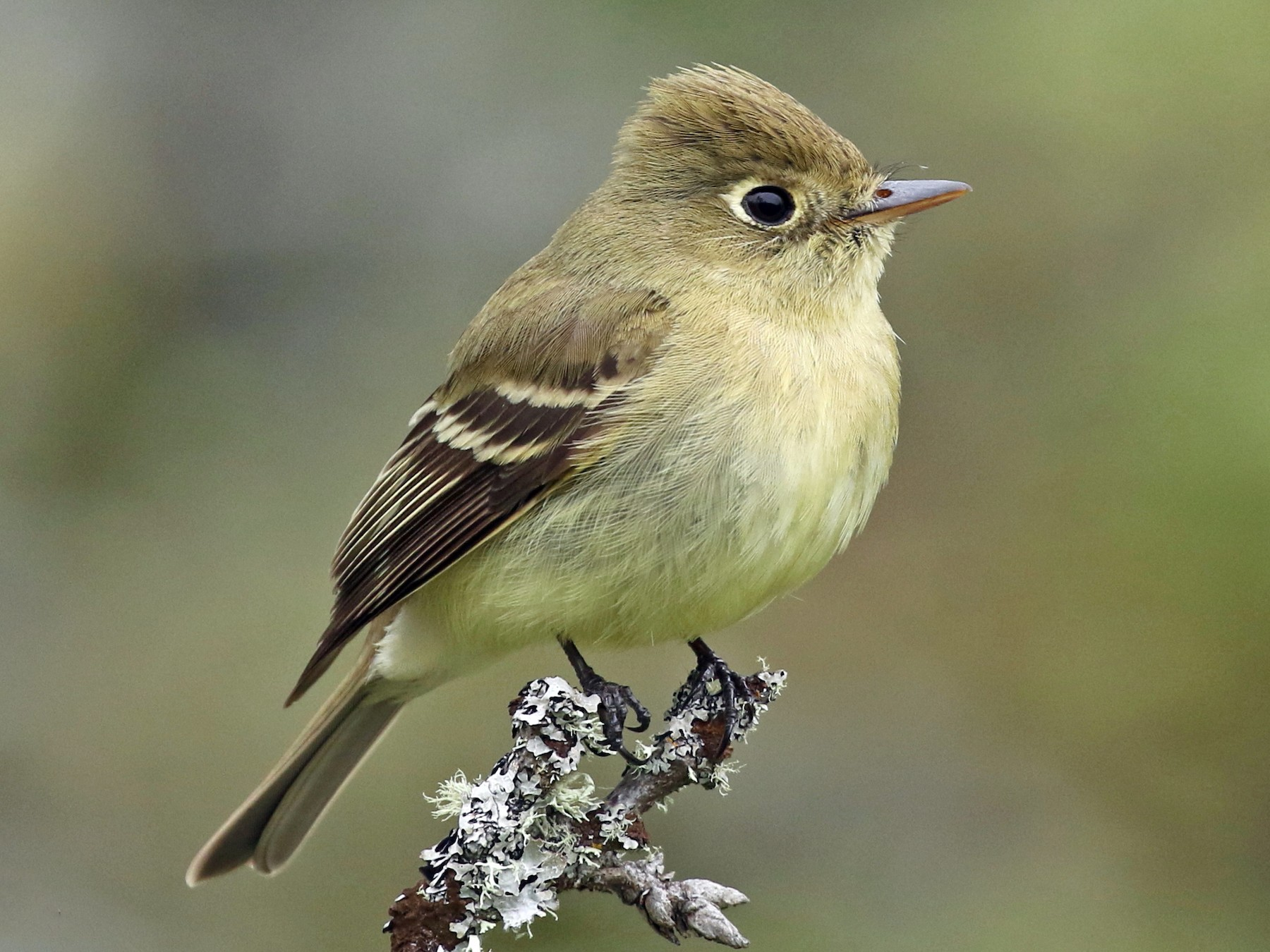 Pacific-slope Flycatcher - Liam Singh