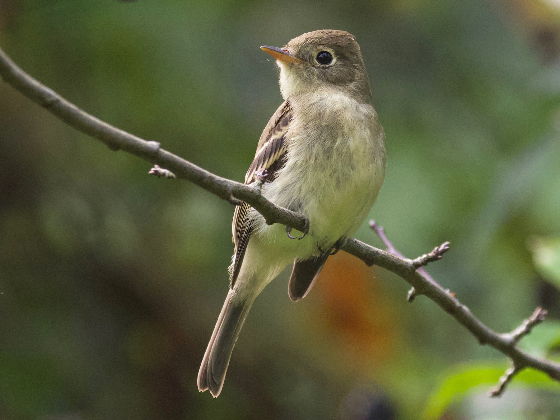 Pacific-slope Flycatcher - Rachel Lawrence