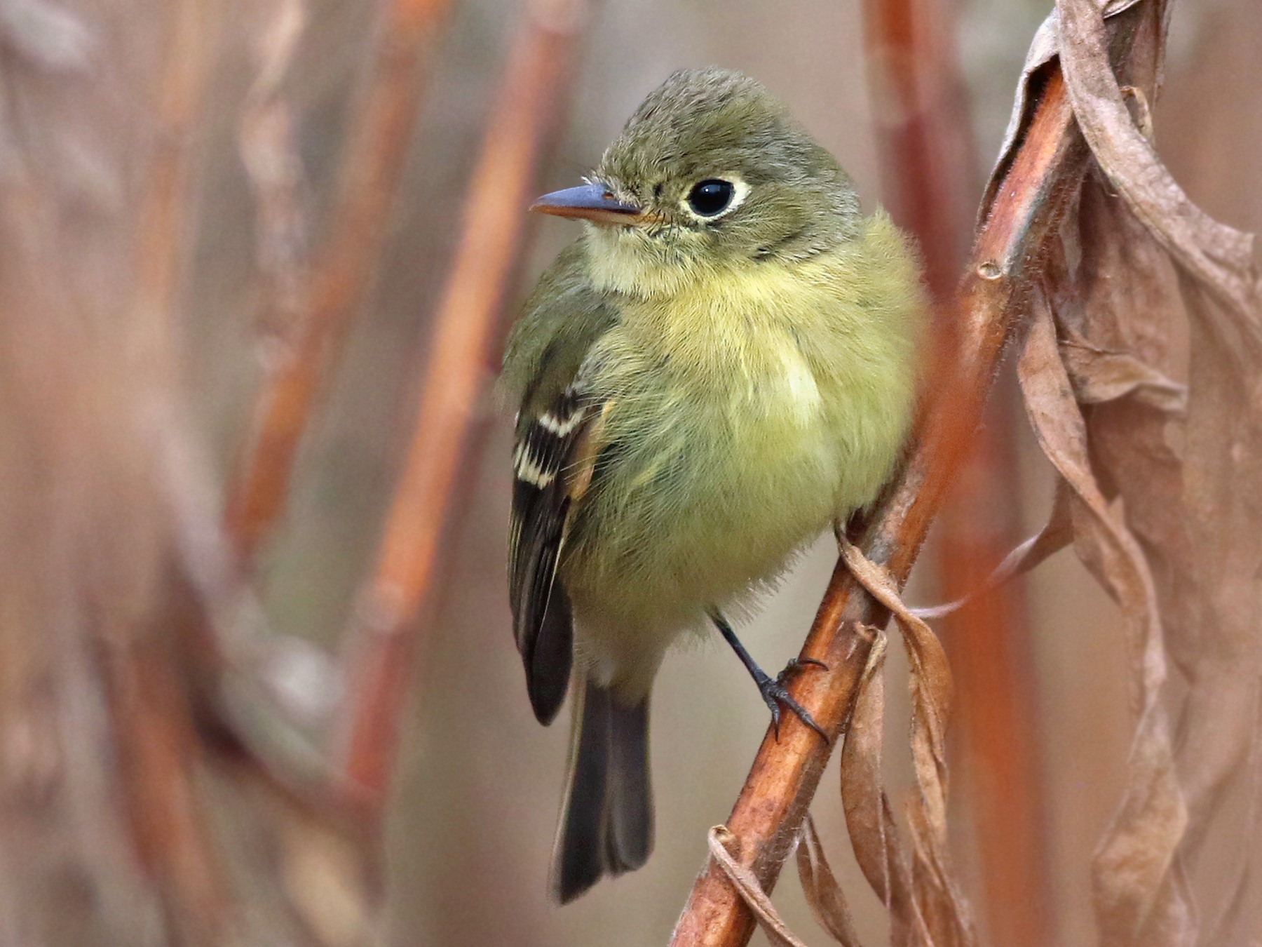 Pacific-slope Flycatcher - Jeremiah Trimble