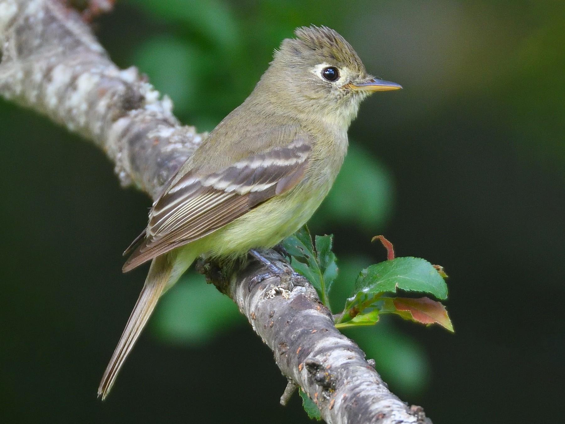Cordilleran Flycatcher - Linda Laing
