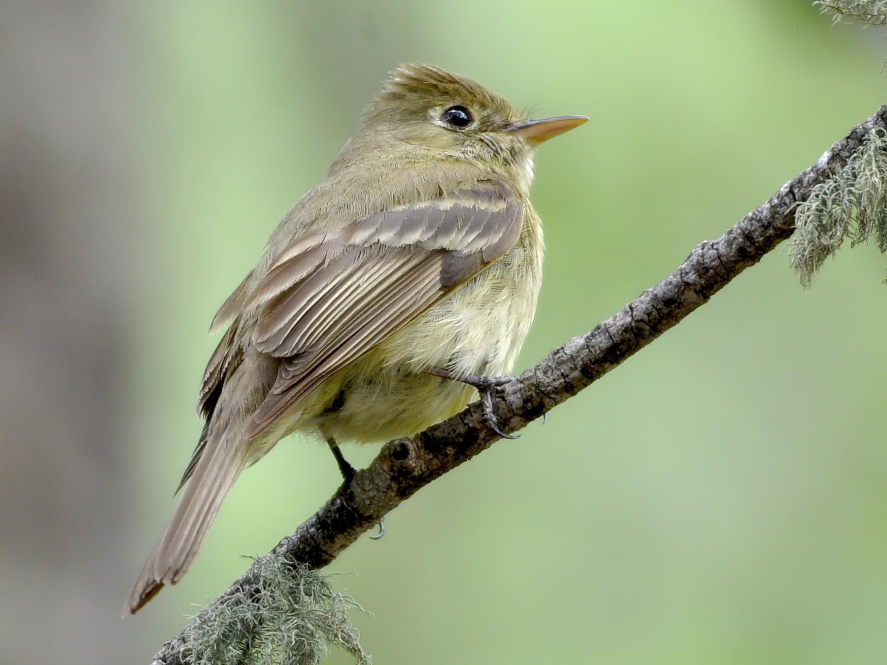 Cordilleran Flycatcher - Oliver Patrick