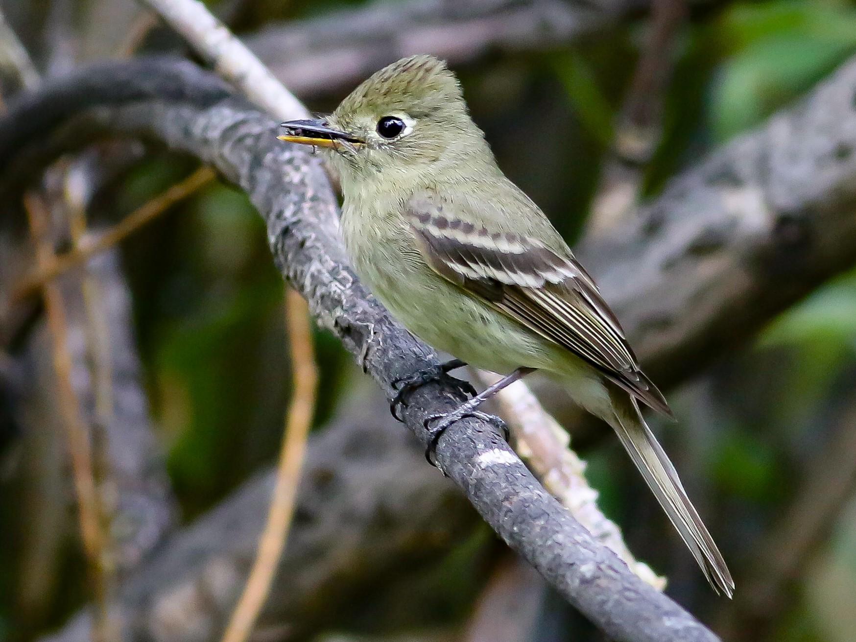 Cordilleran Flycatcher - Max Nootbaar