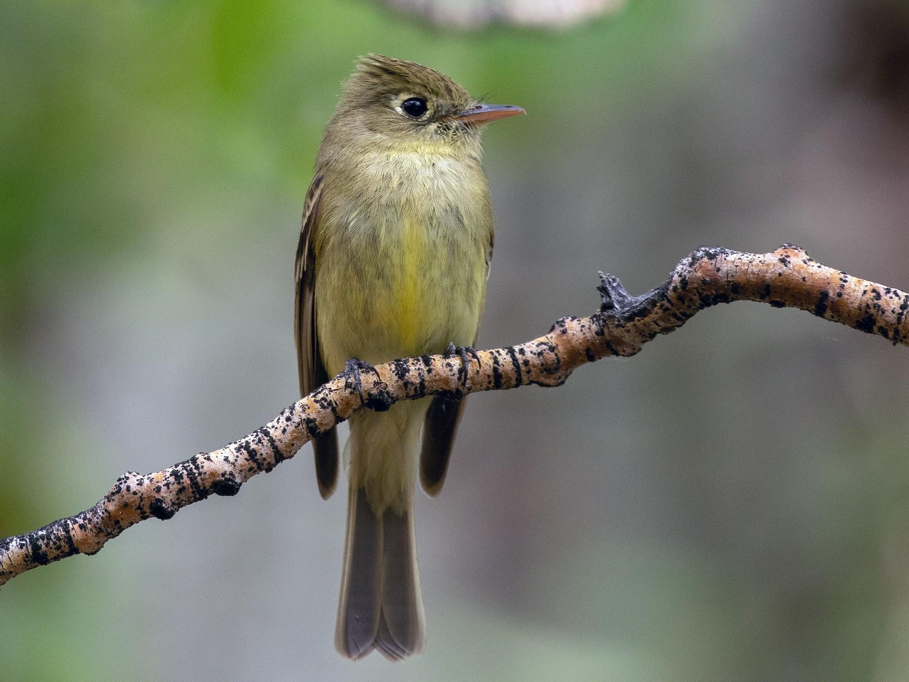 Cordilleran Flycatcher - Mark Stephenson