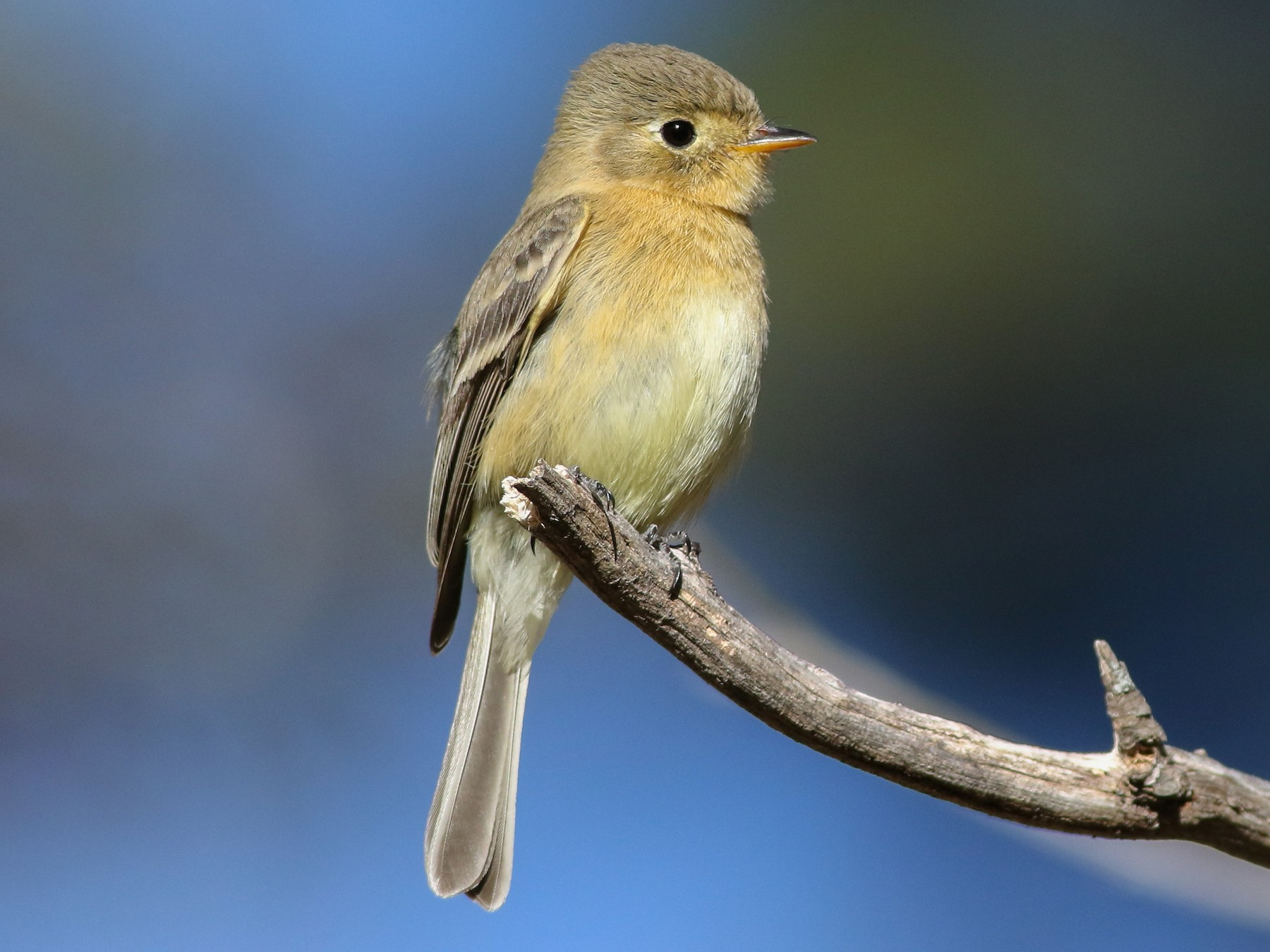 Buff-breasted Flycatcher - Cameron Rutt