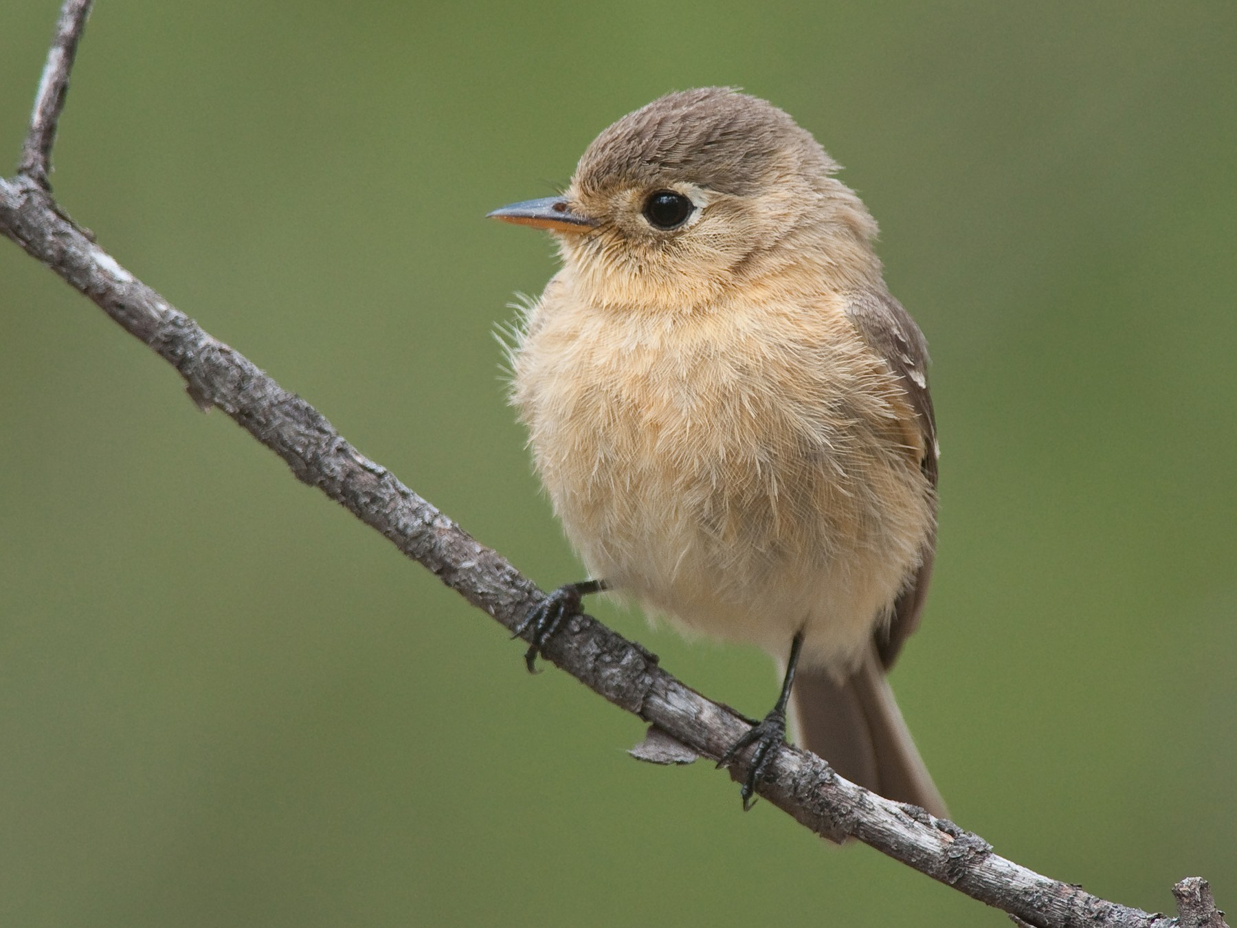 Buff-breasted Flycatcher - Etienne Artigau