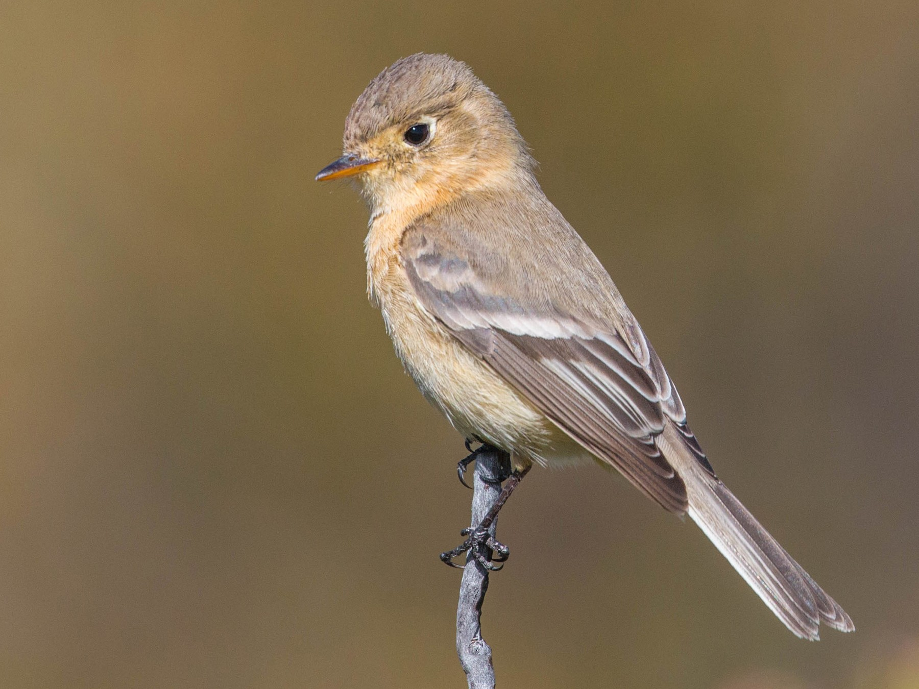 Buff-breasted Flycatcher - Tanner Martin