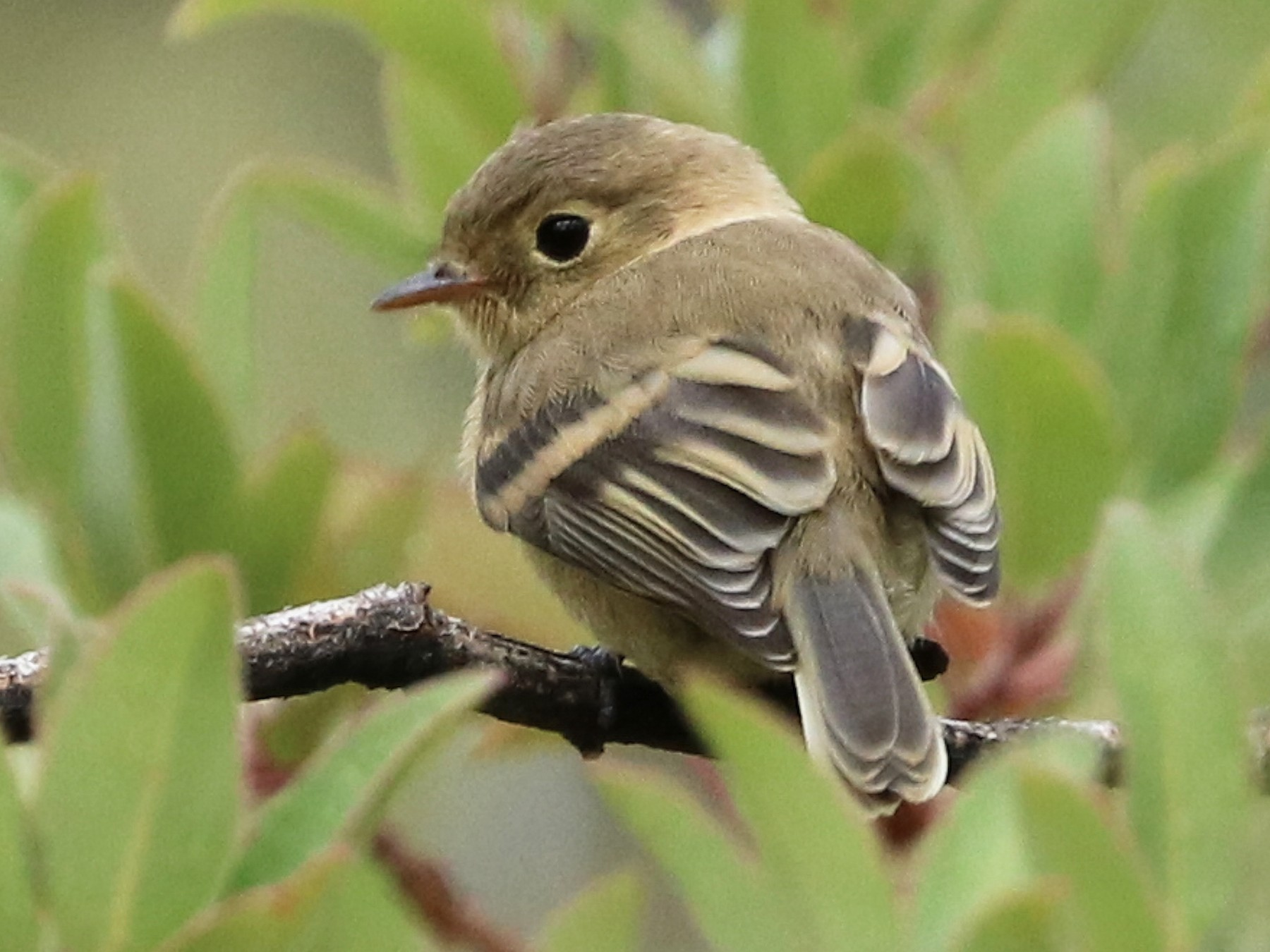 Buff-breasted Flycatcher - Oscar Wilhelmy