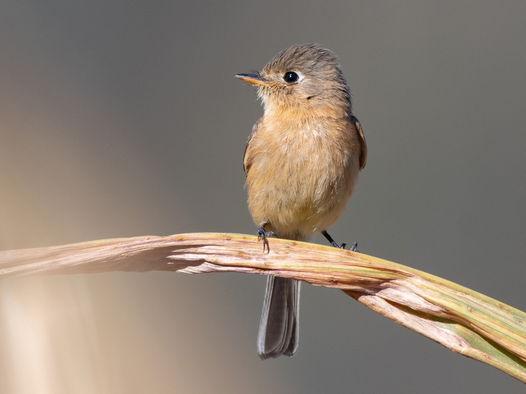 Buff-breasted Flycatcher - Ana Paula Oxom