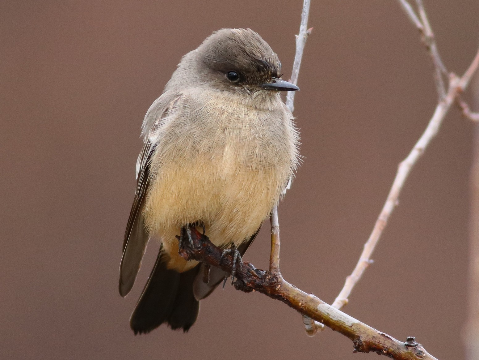 Say's Phoebe - Nick Tepper