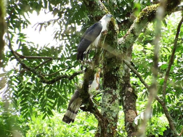 Gray-headed Kite