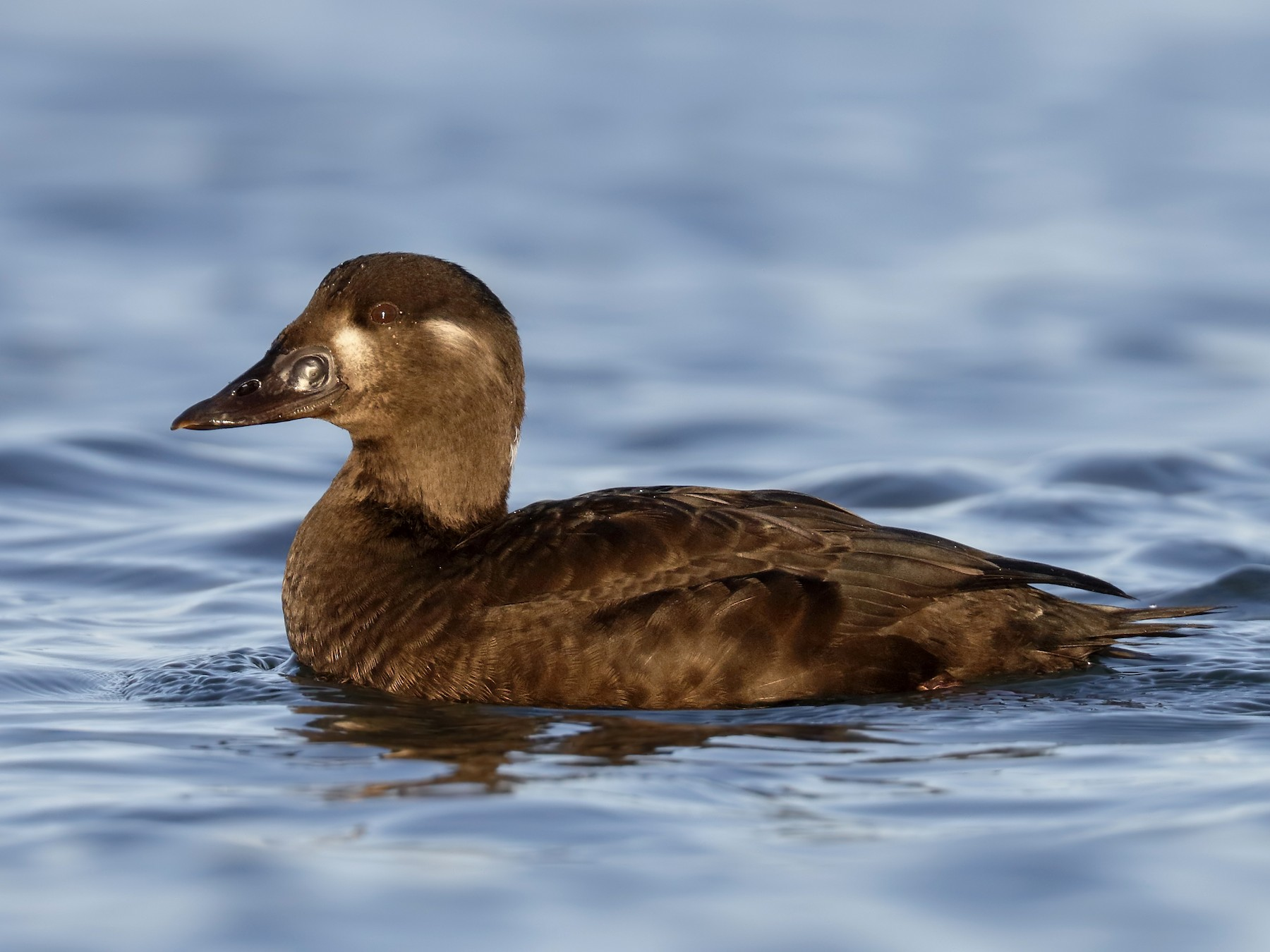 Surf Scoter - Sharif Uddin