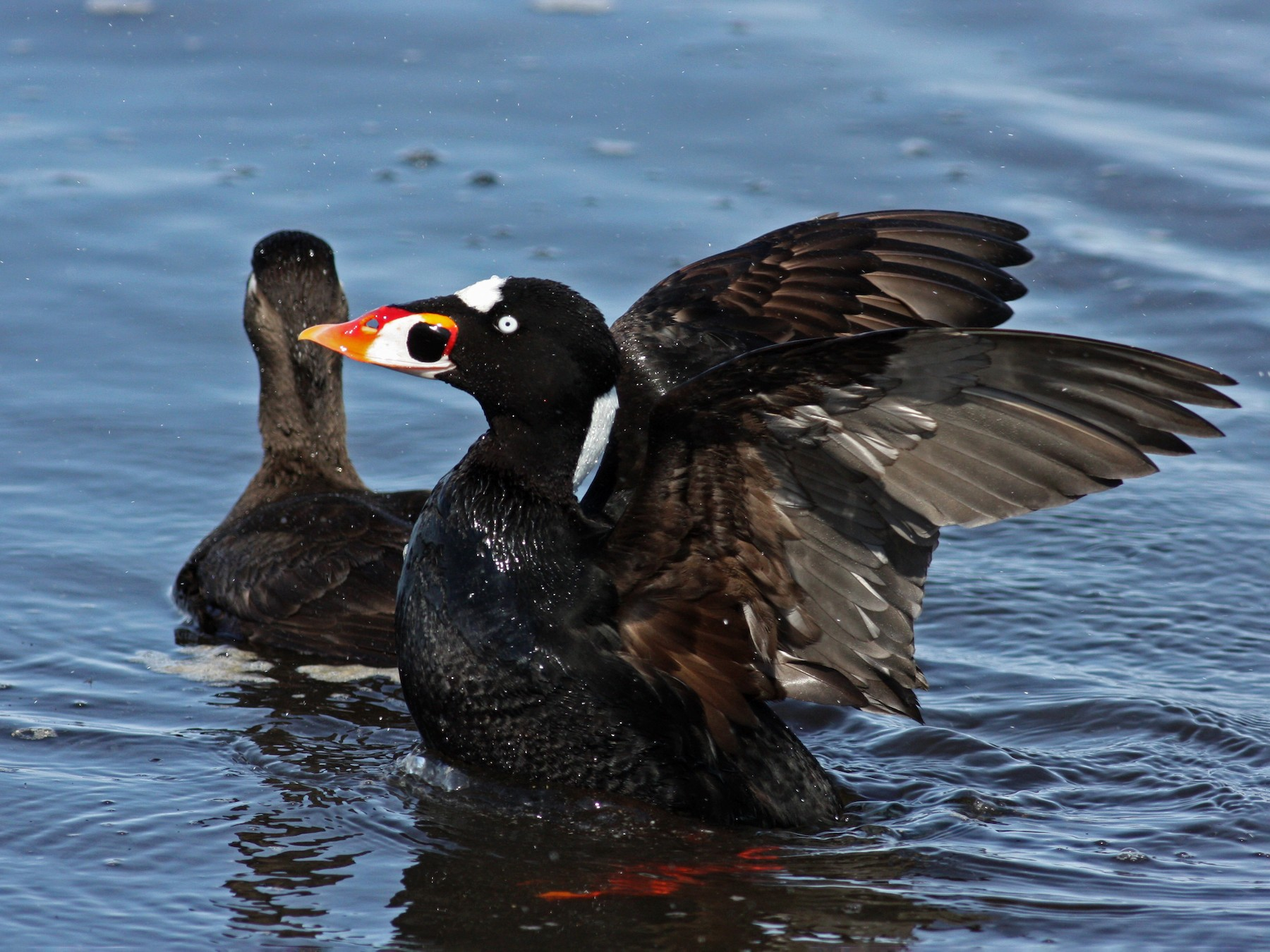 Surf Scoter - Jay McGowan