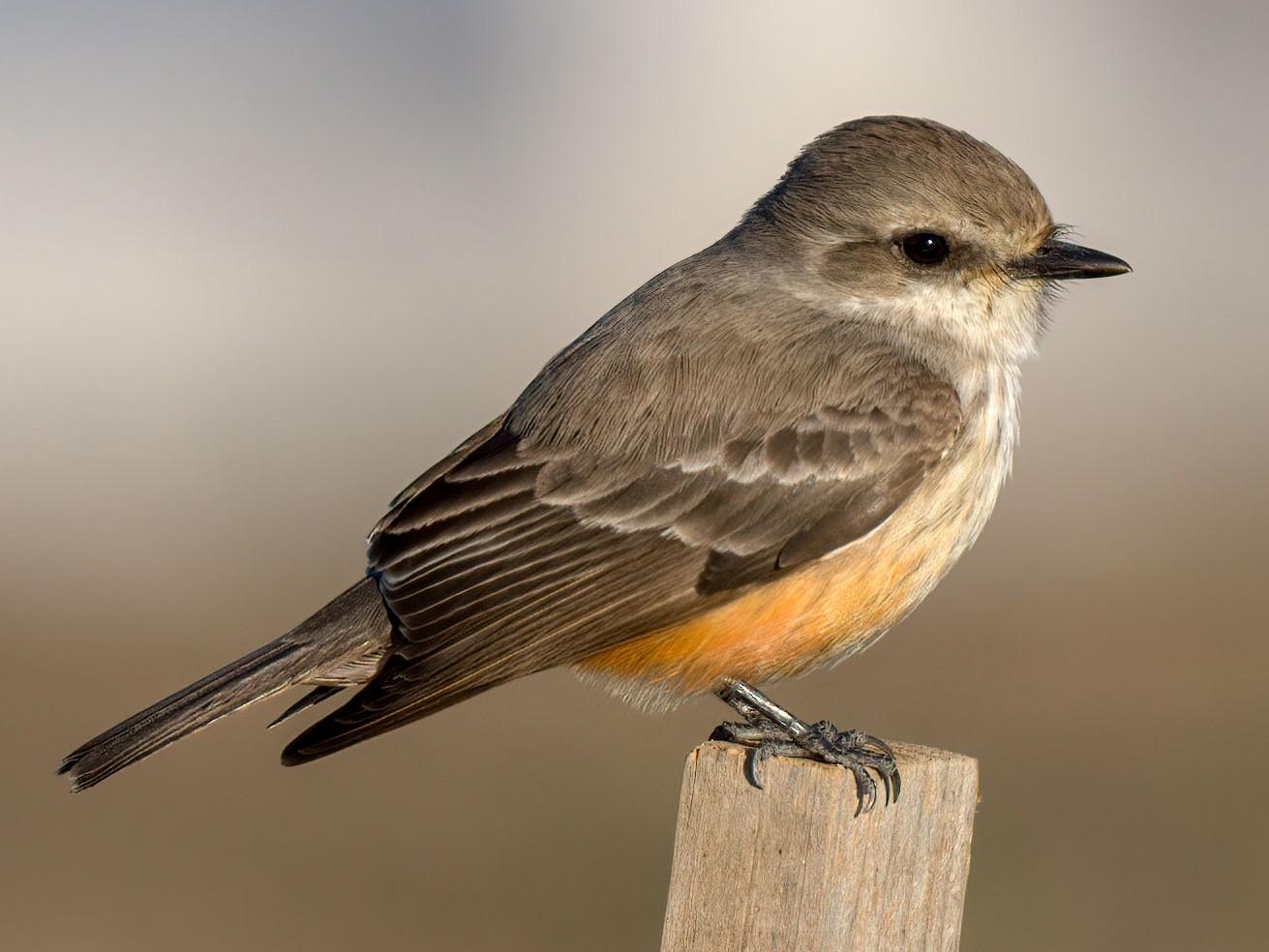 Vermilion Flycatcher - Andrew Newmark