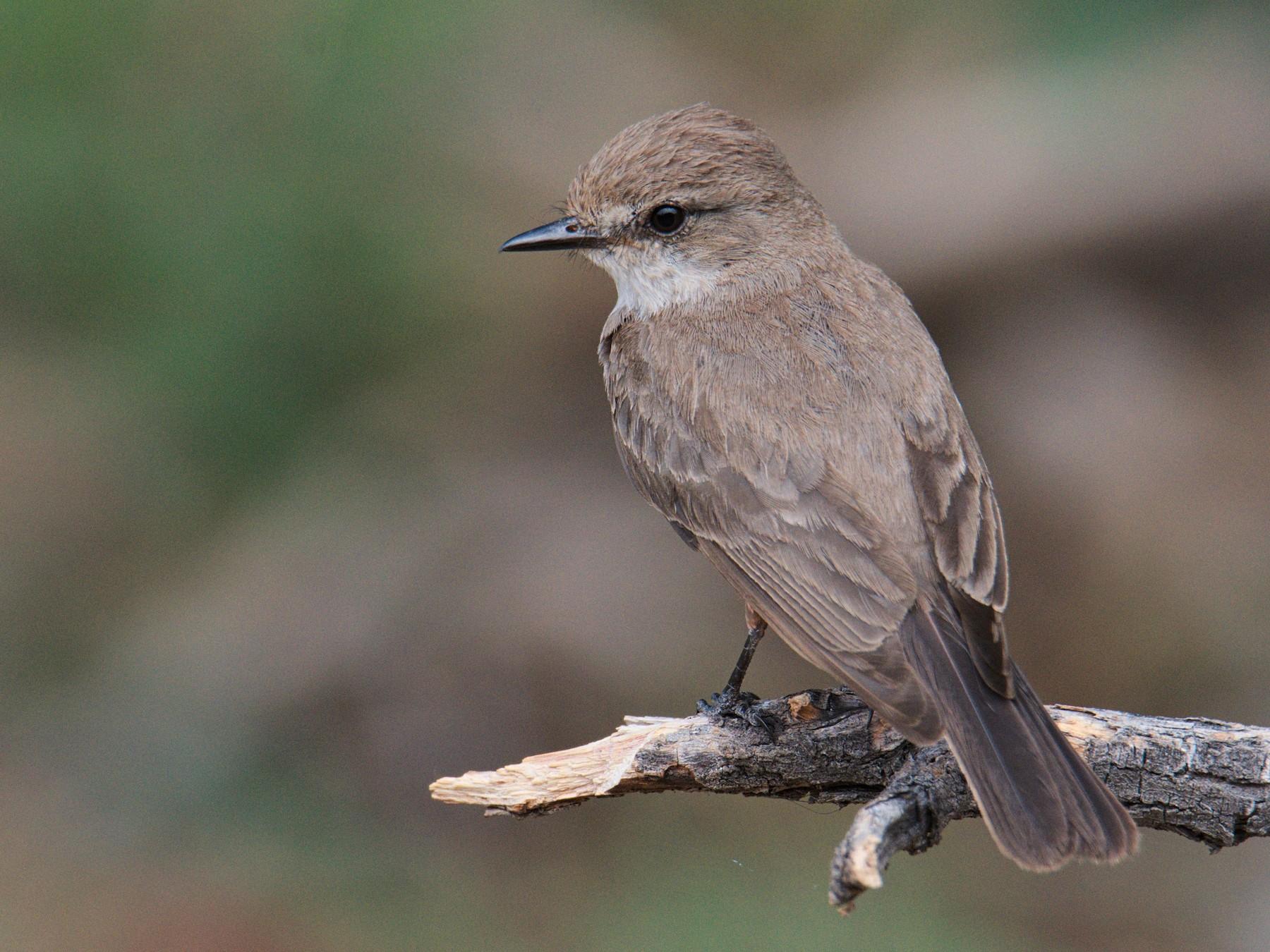 Vermilion Flycatcher - John Kuenzli