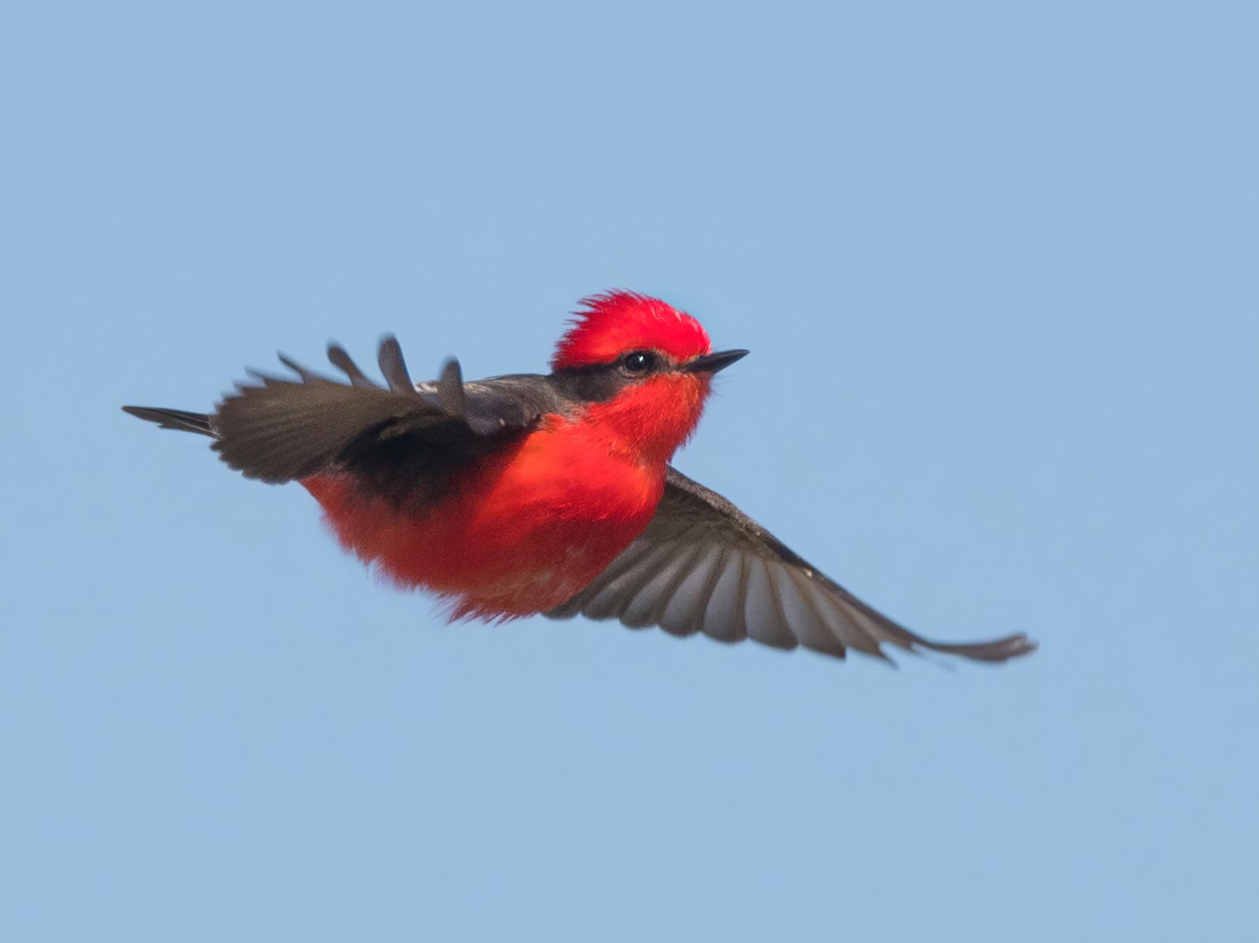 Vermilion Flycatcher - Pablo Re