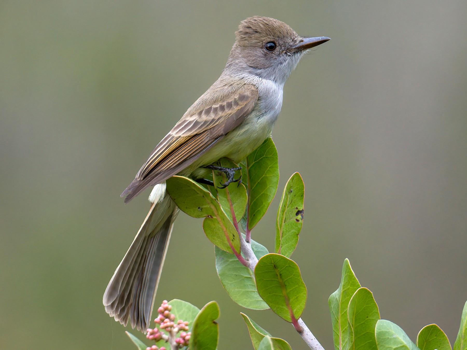 Dusky-capped Flycatcher - Andrew Newmark