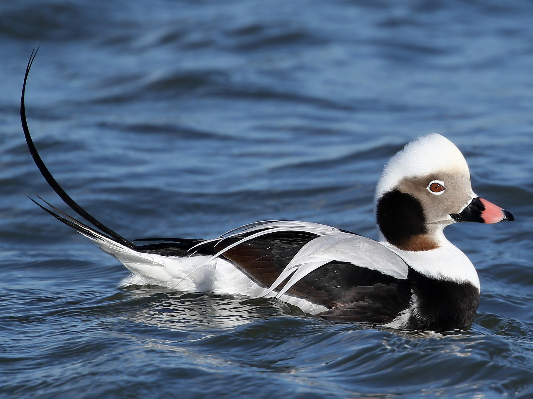 Long-tailed Duck - Kojo Baidoo
