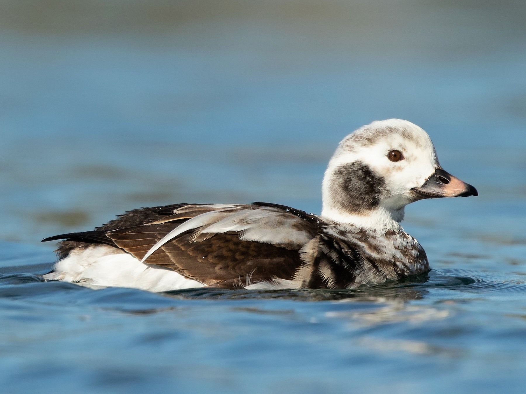 Long-tailed Duck - Ilya Povalyaev