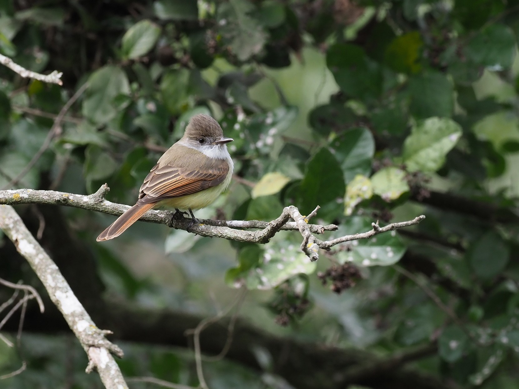 Dusky-capped Flycatcher - dean anderson
