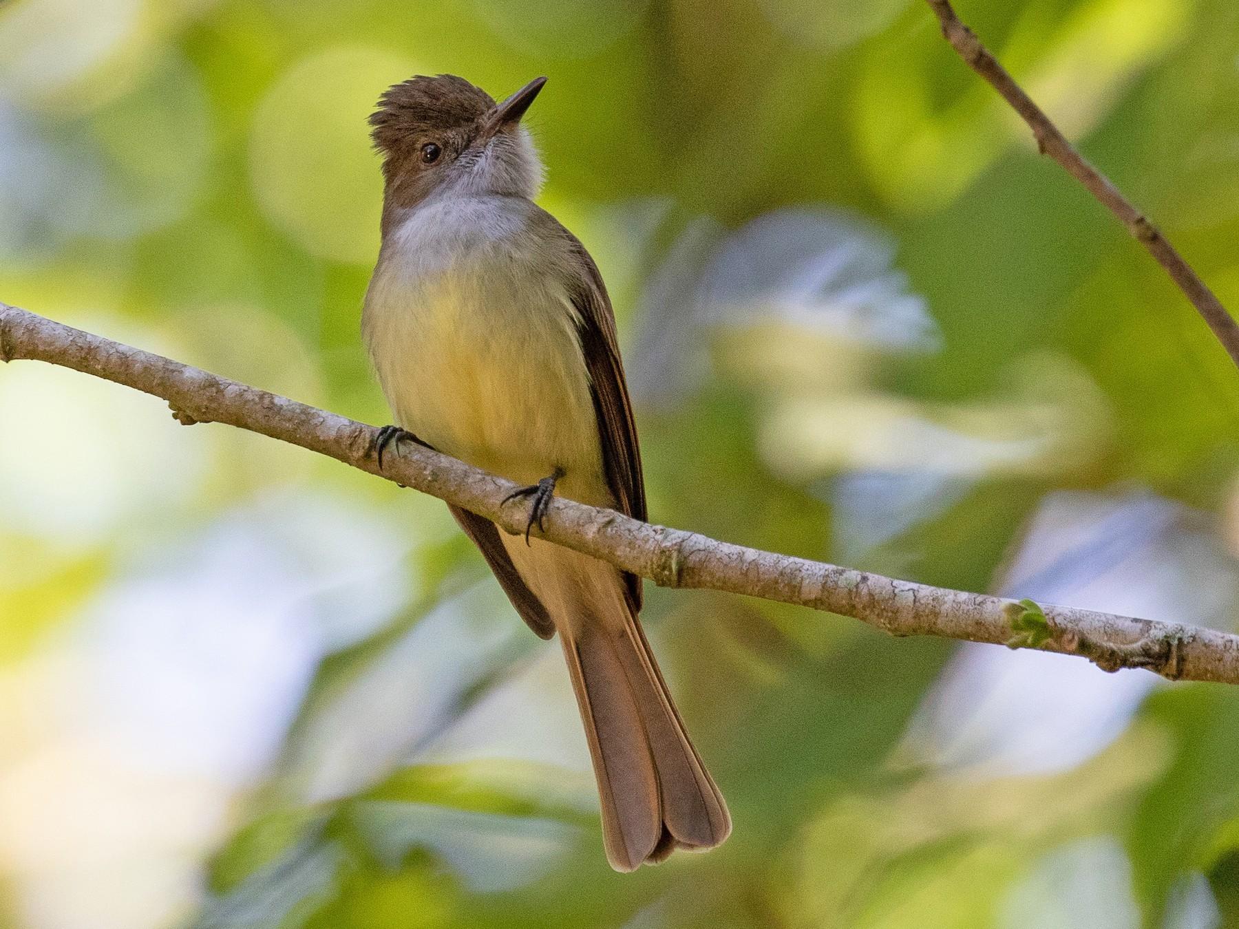 Dusky-capped Flycatcher - Blair Dudeck