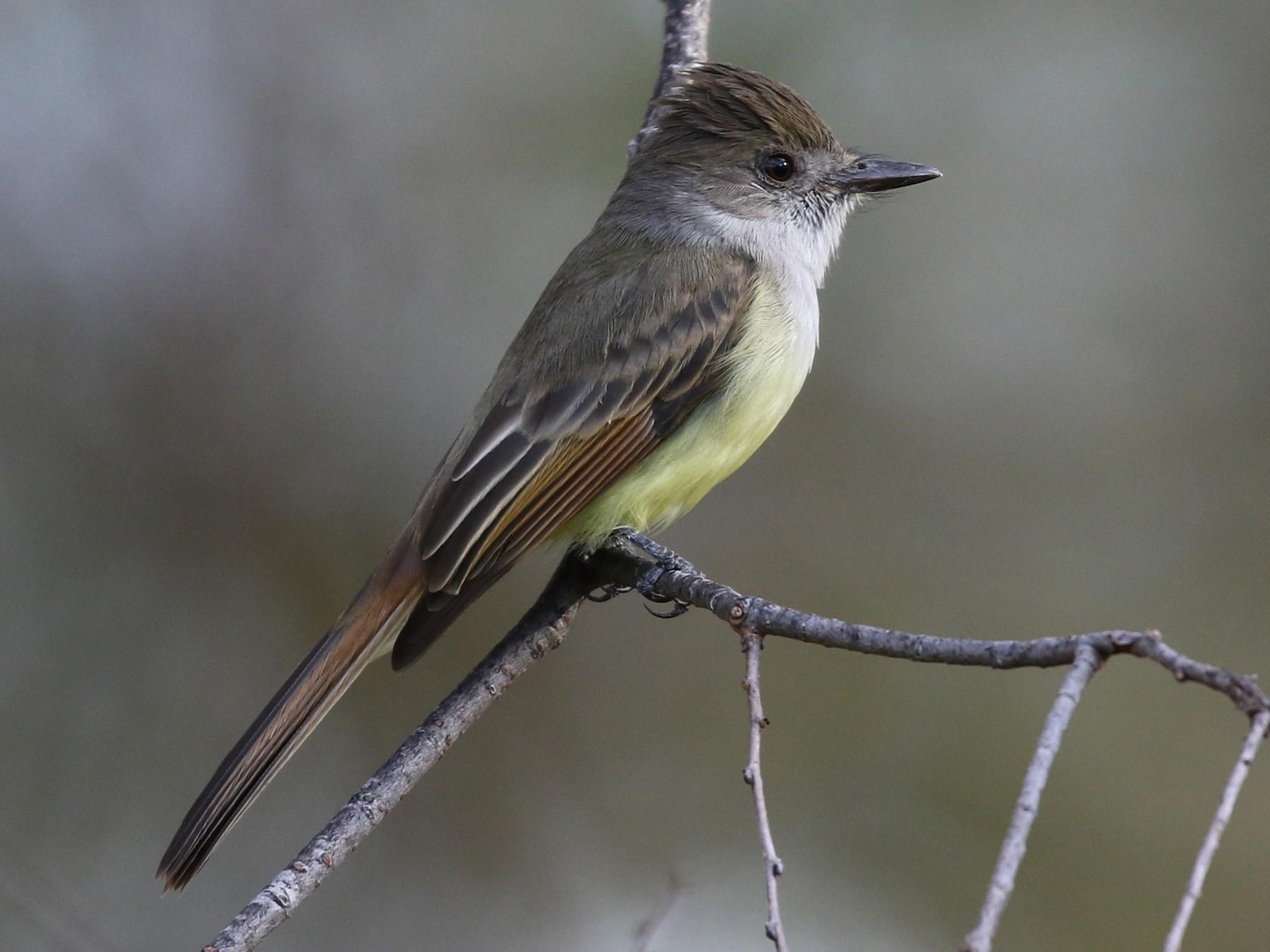 Dusky-capped Flycatcher - Tom Benson