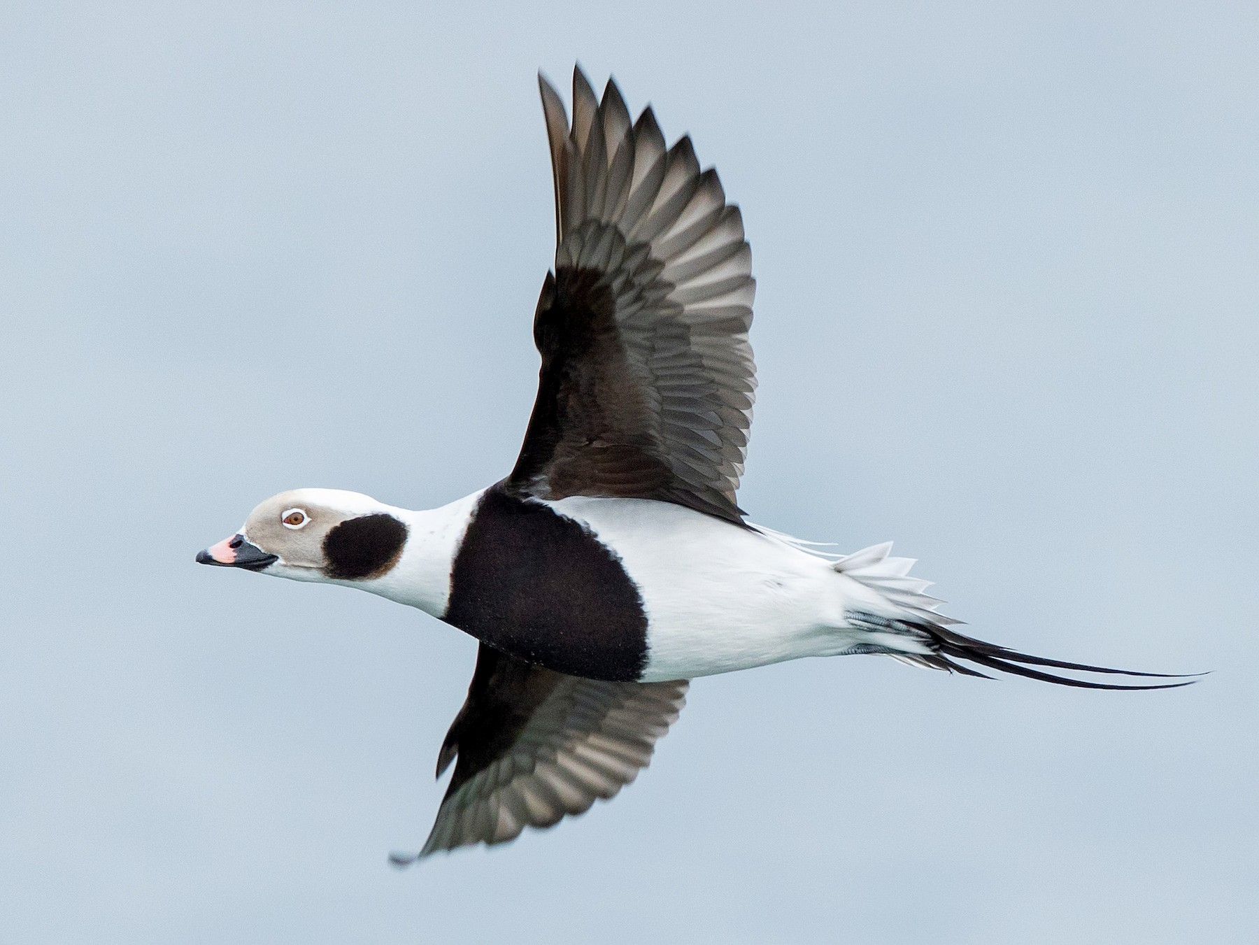 Long-tailed Duck - Brian Stahls