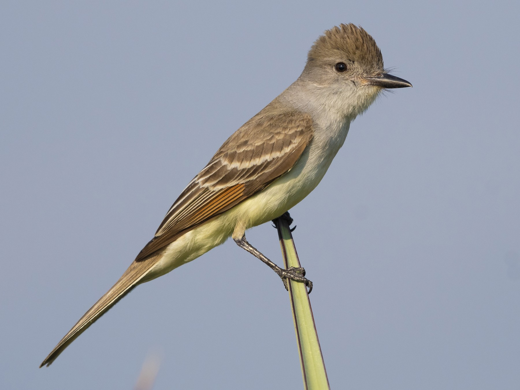 Ash-throated Flycatcher - Bryan Calk