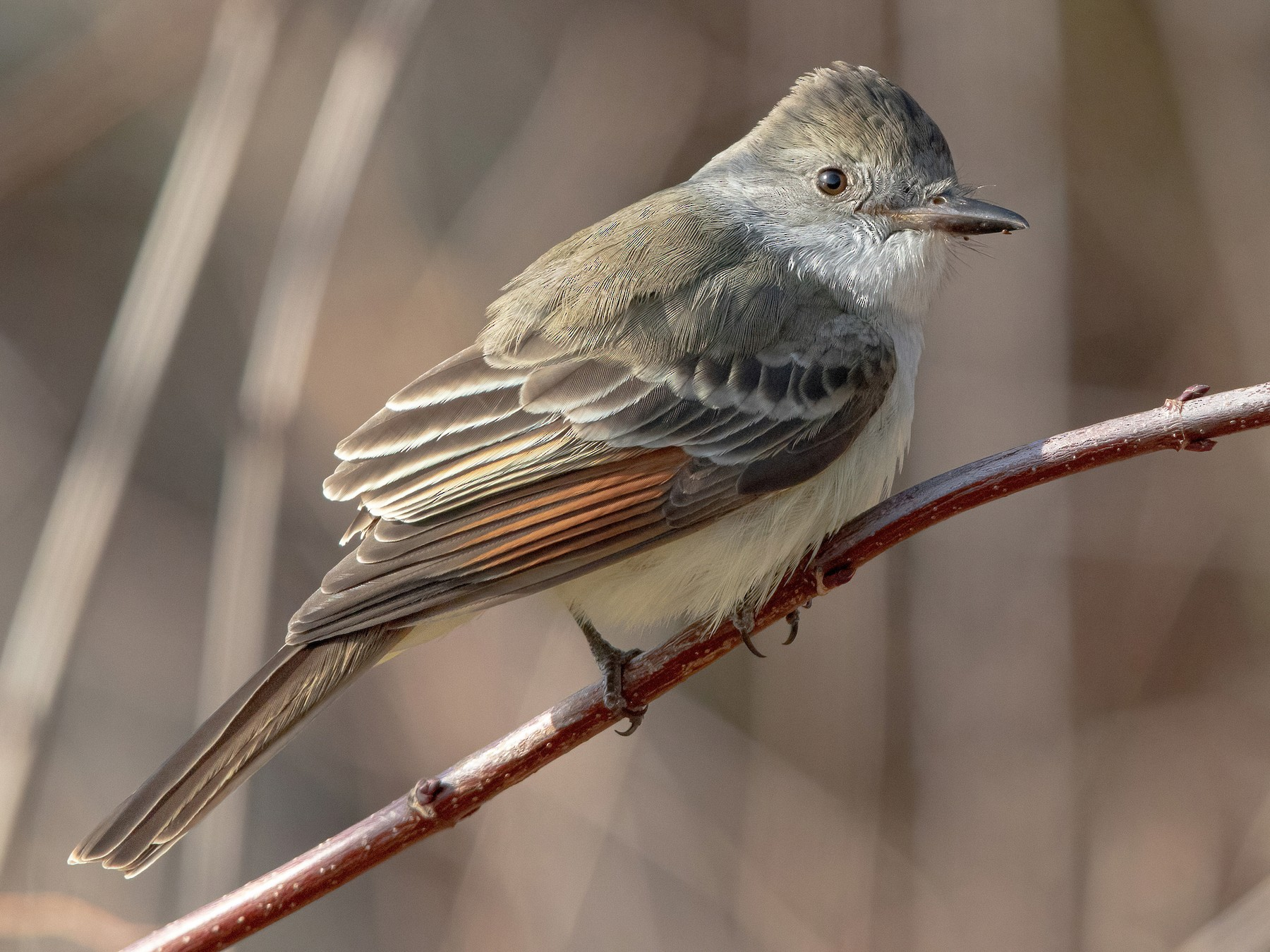 Ash-throated Flycatcher - Sam Zhang
