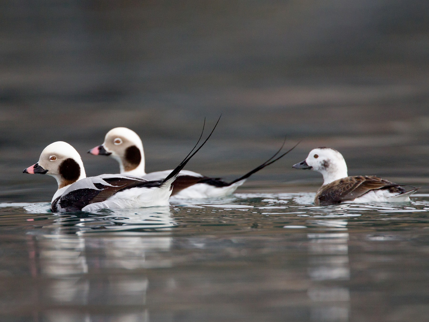 Long-tailed Duck - Chris Wood