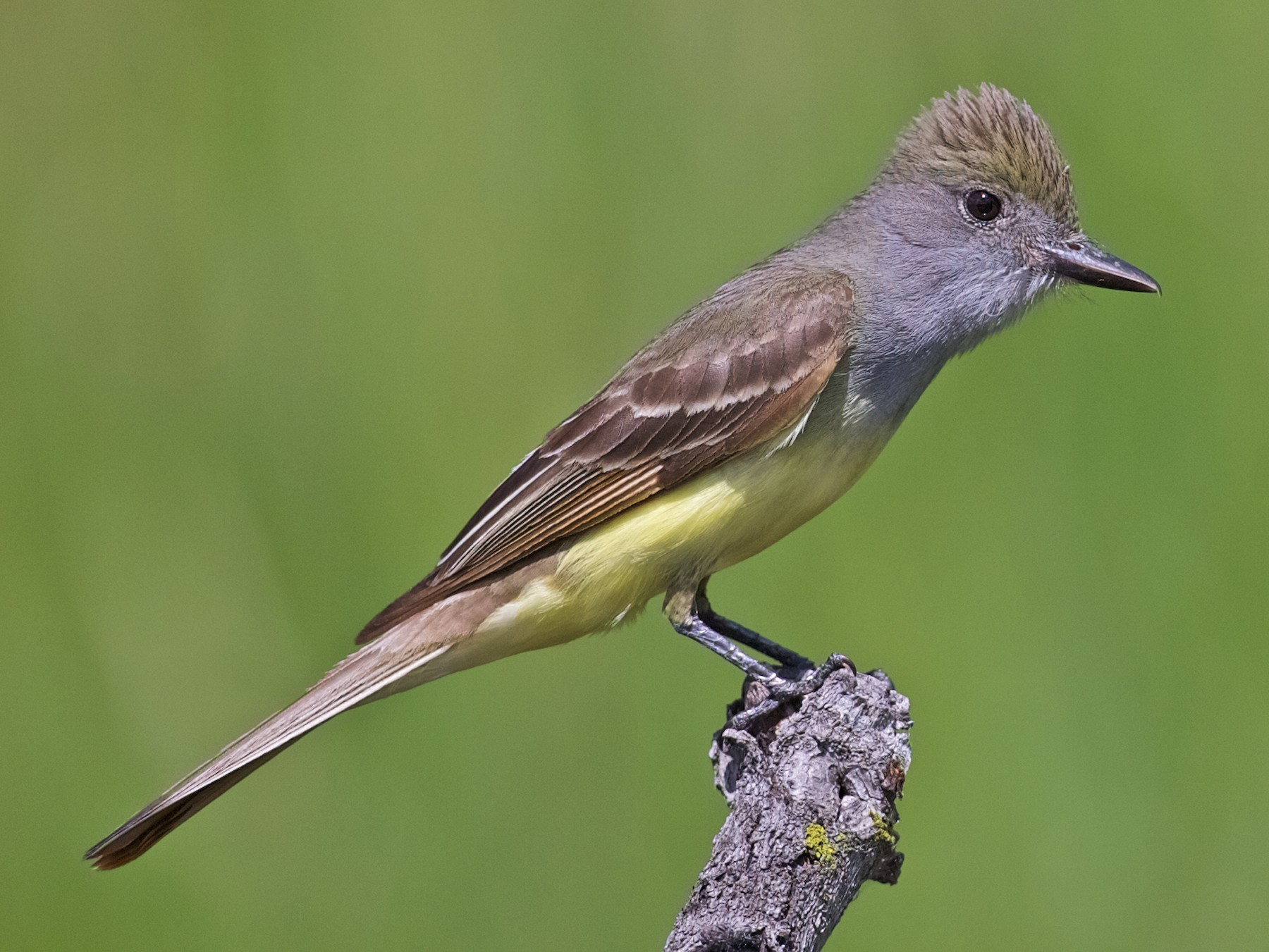 Great Crested Flycatcher - Jack & Holly Bartholmai