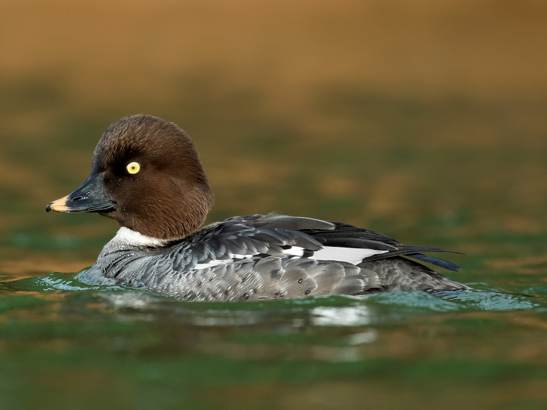 Common Goldeneye - Dorian Anderson